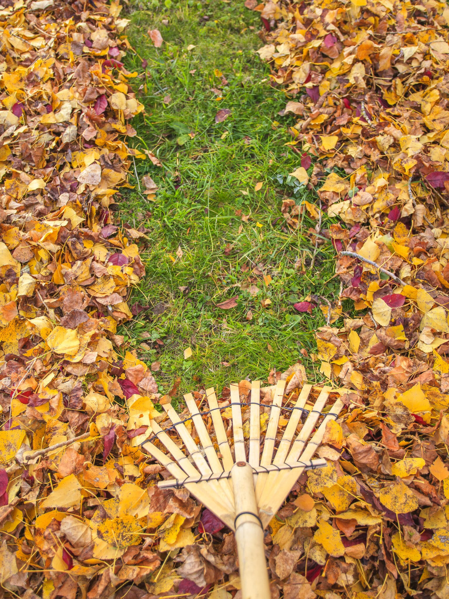 A rake pulling dead leaves for spring cleanup.