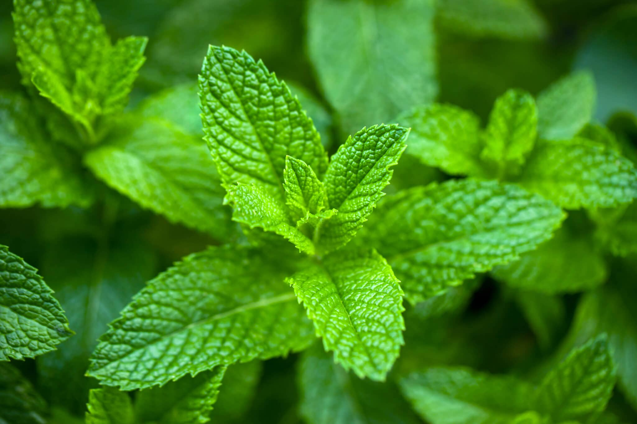 Closeup of a spearmint plant to show how it's spear shaped leaves can be used to differentiate it from other types of mint.