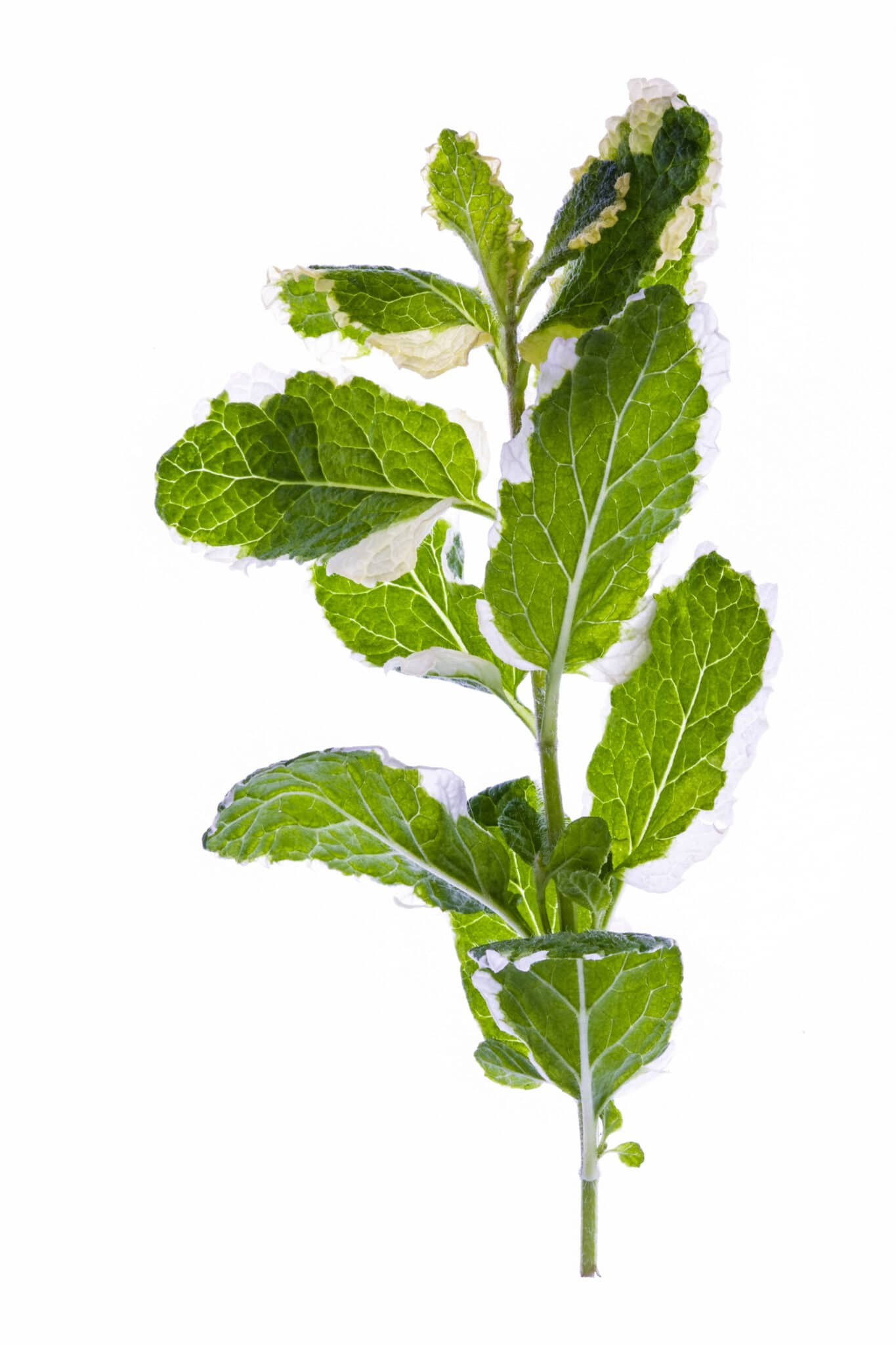 A closeup of a pineapple mint branch on a white background, showing the white bordered leaves unique to these types of mint.