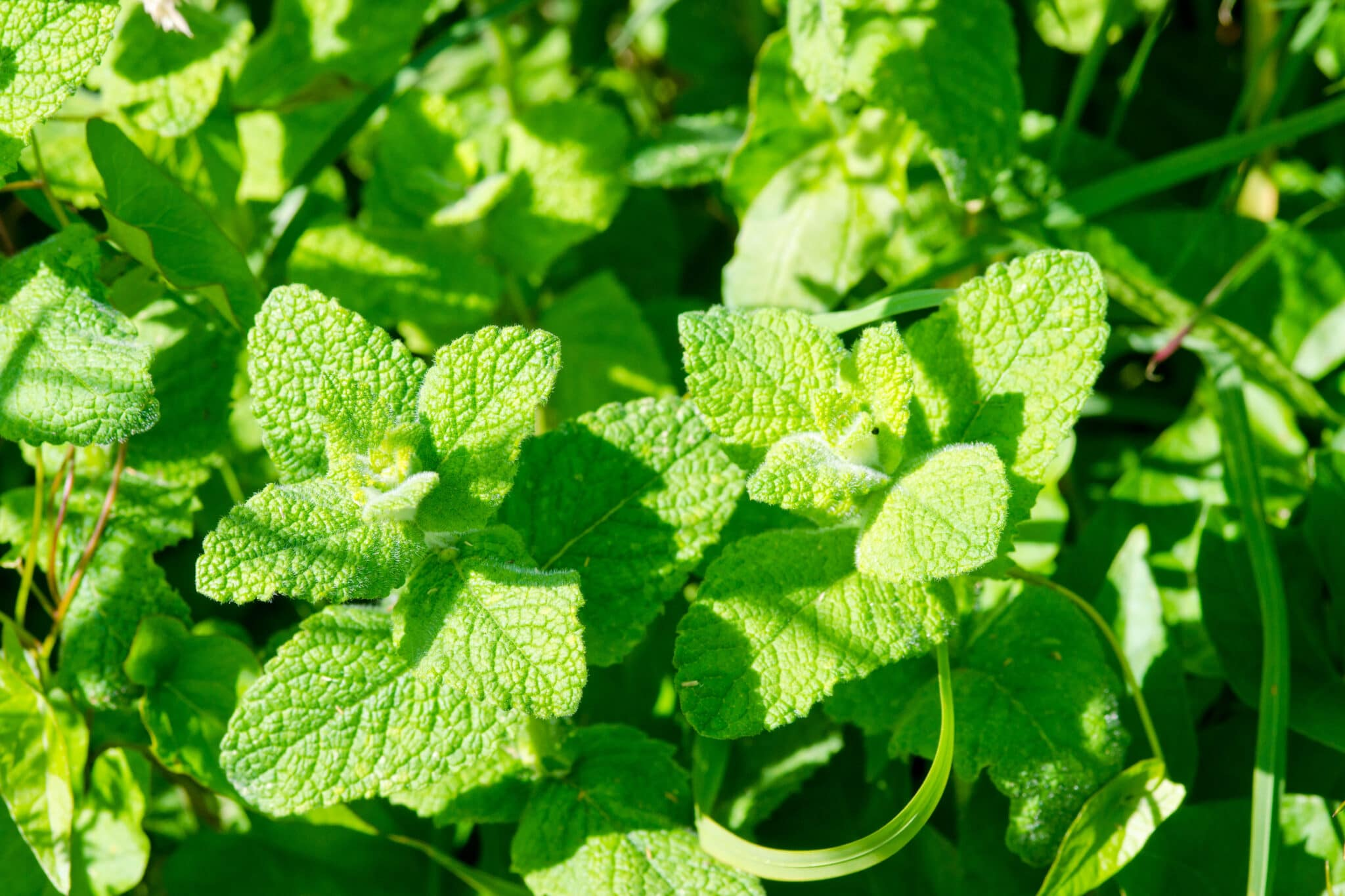 Apple mint growing outdoors, showing the fuzzy leaves that can be used to identify these types of mint.