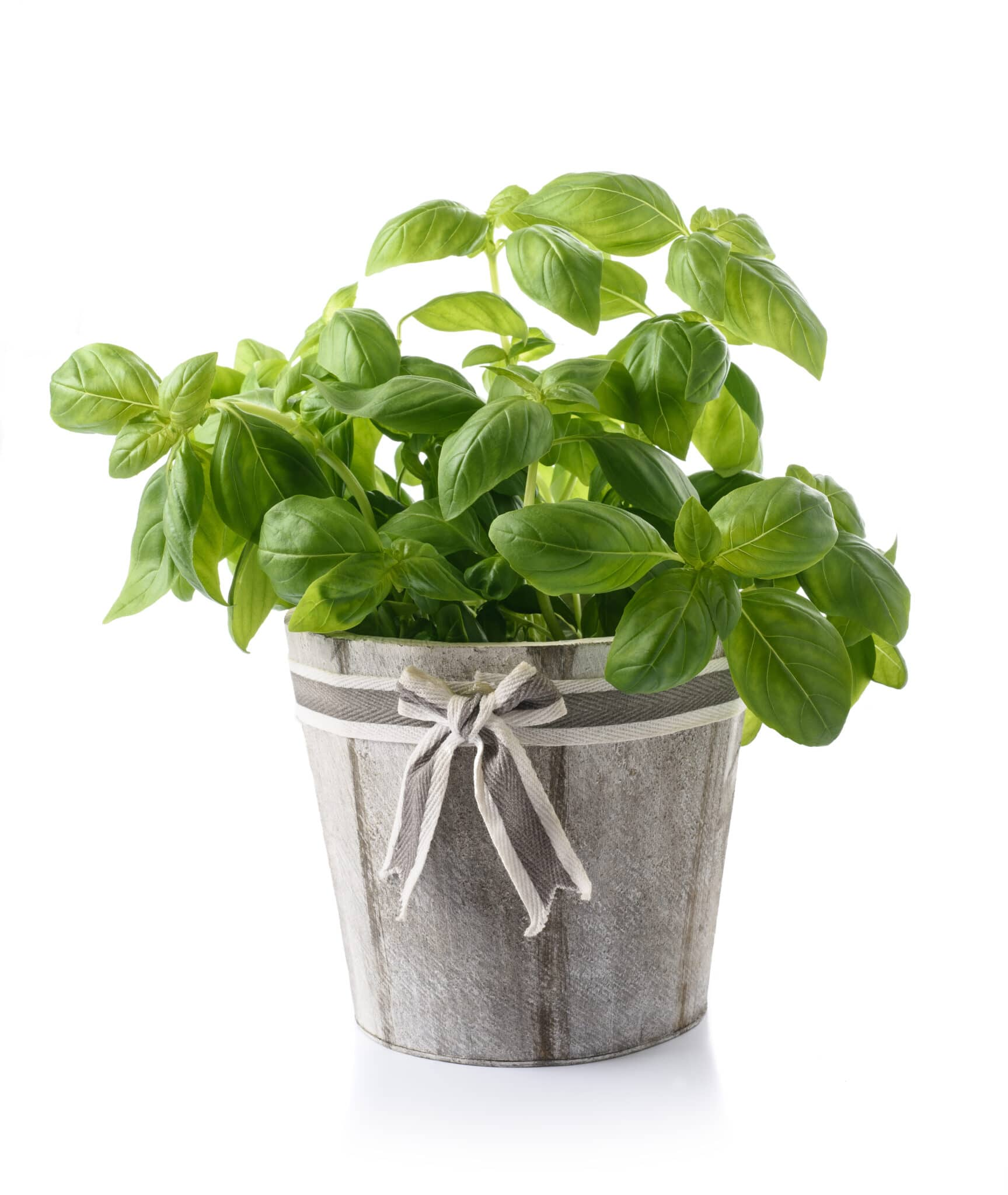 A lovely  rustic grey wooden pot with fabric bow filled with a healthy bright green basil plant.