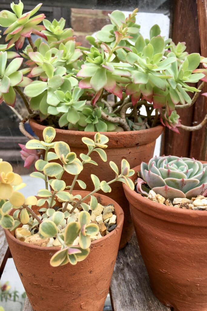 Succulents in clay pots.