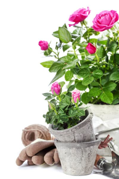Beautiful pink roses in a flowerpots and indoor gardening supplies
