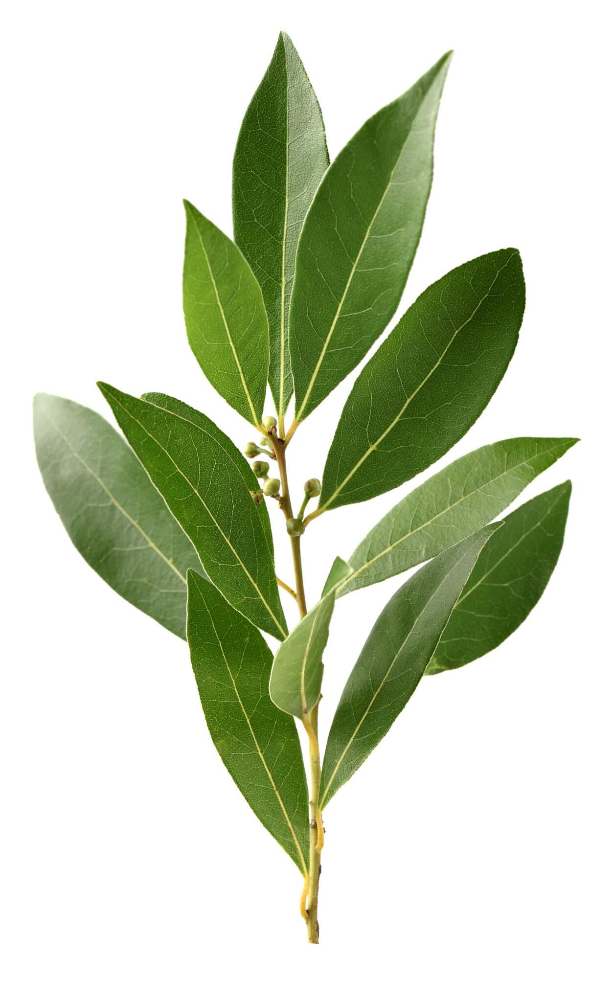 Ein geschnittener Zweig einer Lorbeerblattpflanze vor einem strahlend weißen Hintergrund.
