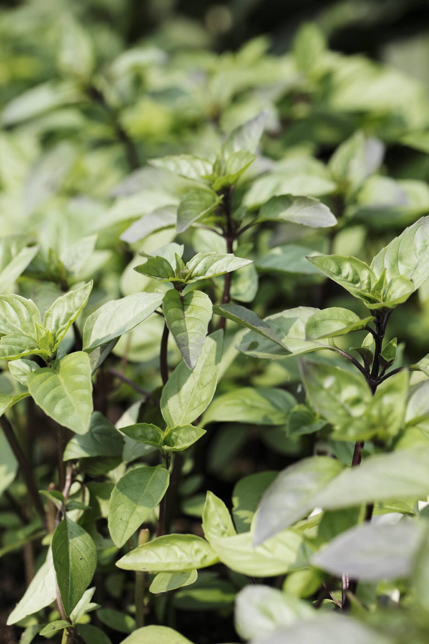 Albahaca canela crece en un jardín al aire libre.