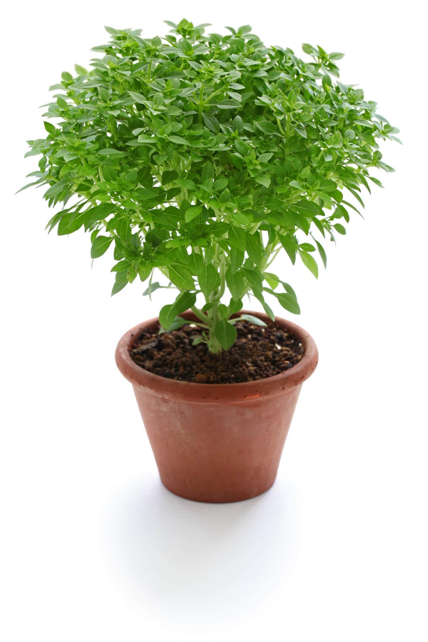 Una planta de albahaca griega que crece en una maceta de terracota roja sobre un fondo blanco brillante.