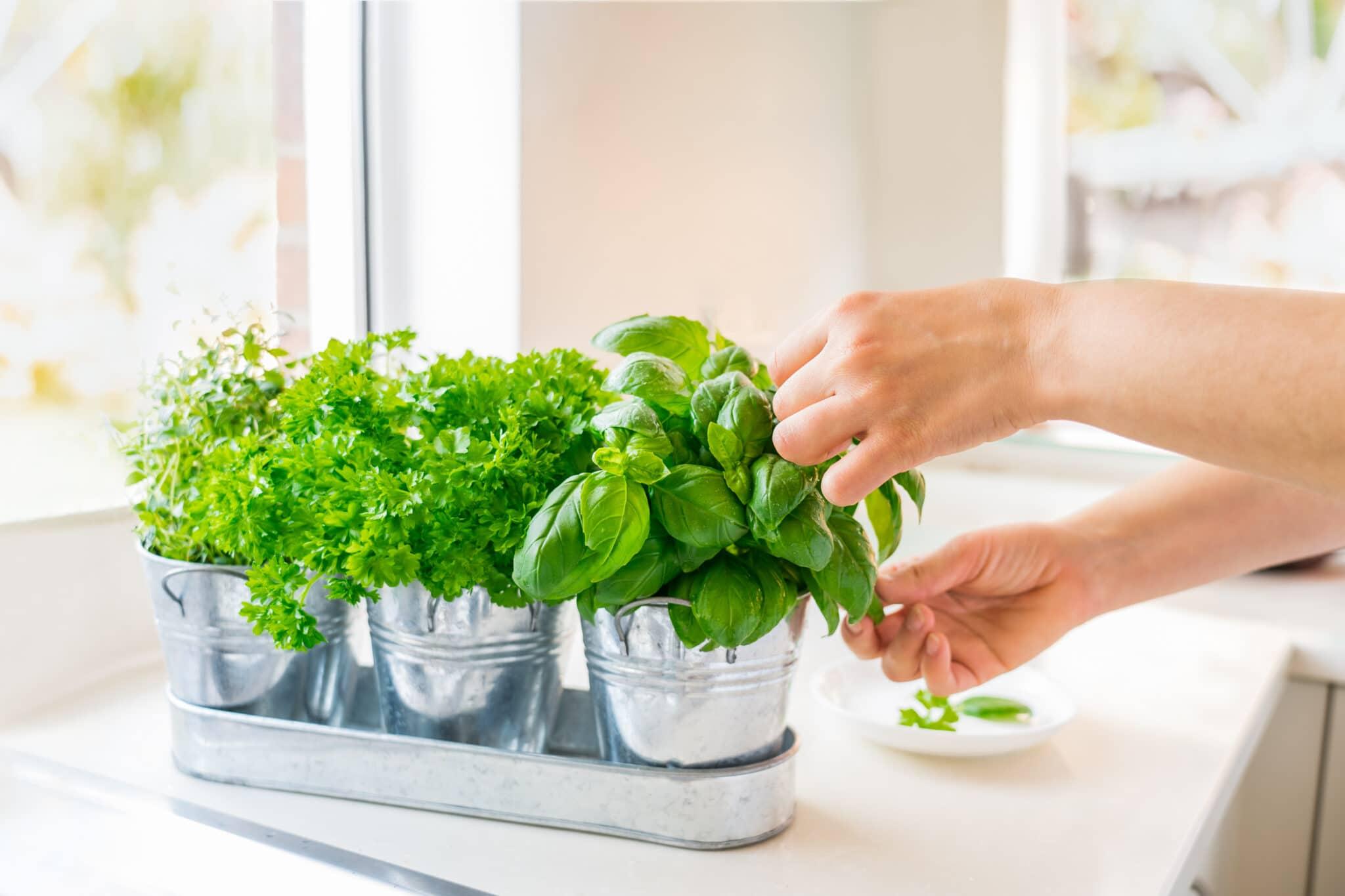 Nahaufnahme der Hand der Frau, die Blätter von Basilikumgrün pflücken.  Hausgartenarbeit in der Küche.  Kräutertöpfe mit Basilikum, Petersilie und Thymian.  Hausbepflanzung und Nahrungsmittelanbau.  Nachhaltiger Lebensstil, pflanzliche Lebensmittel