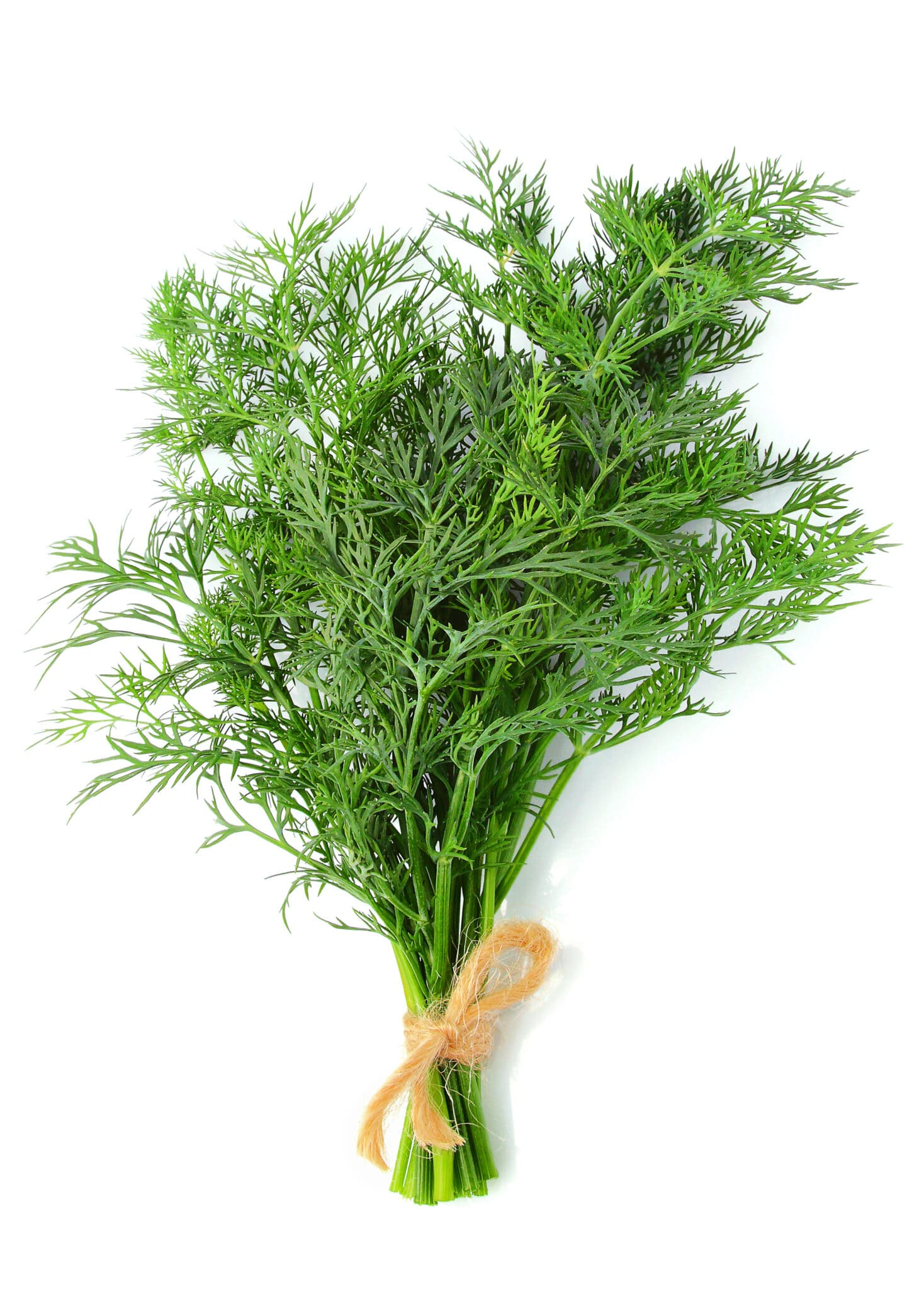 Bunch of dill isolated vertically on a white background.