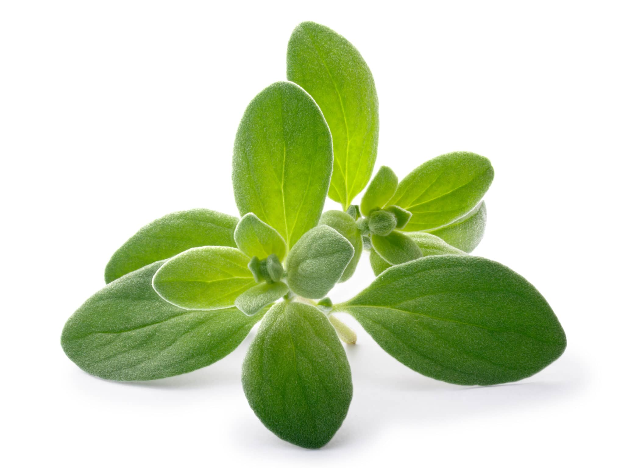 A sprig of fresh sweet marjoram against a bright white tabletop.