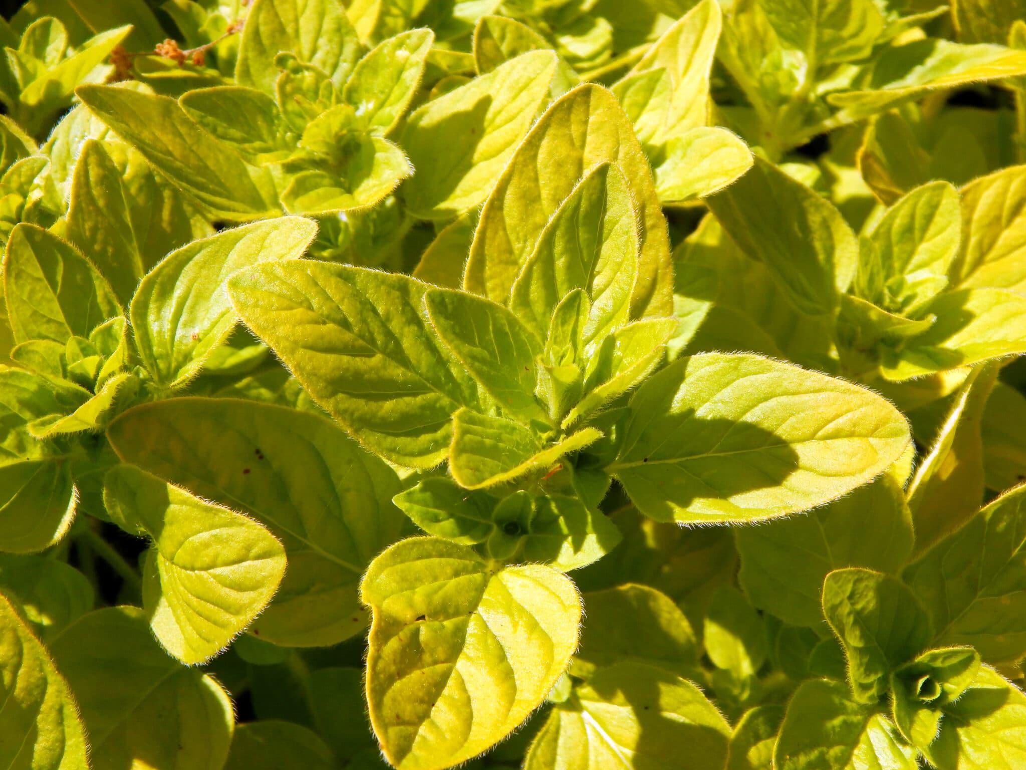 Soft yellow golden oregano growing outside.