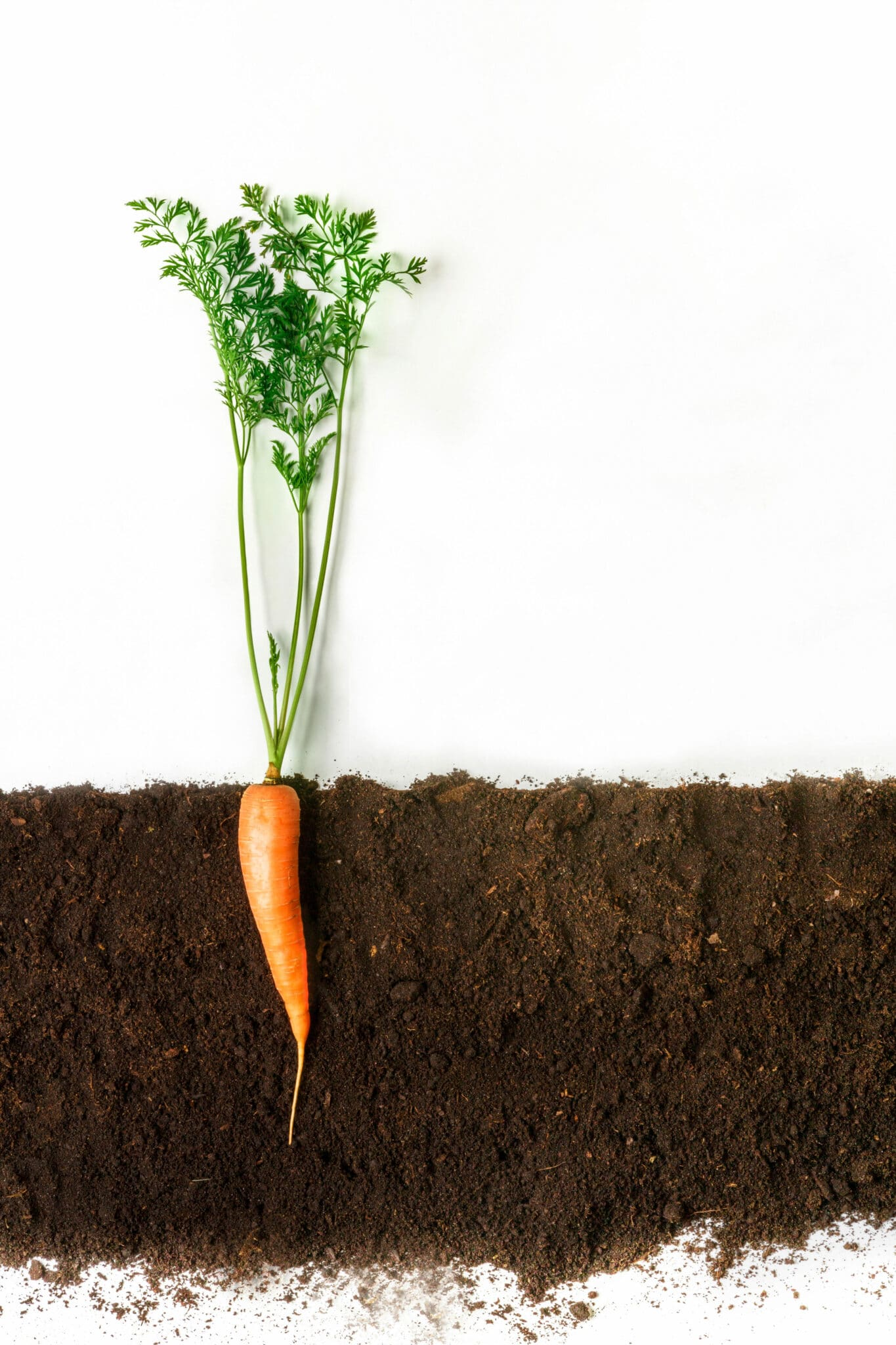 A cross-section showing how deep a carrot will grow in a container.
