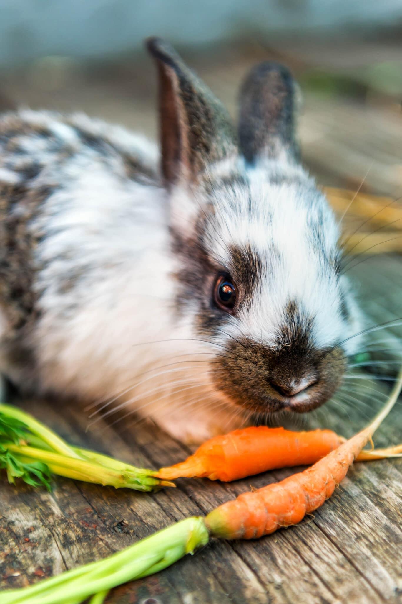 A closeup of a bunny eating a carrot.