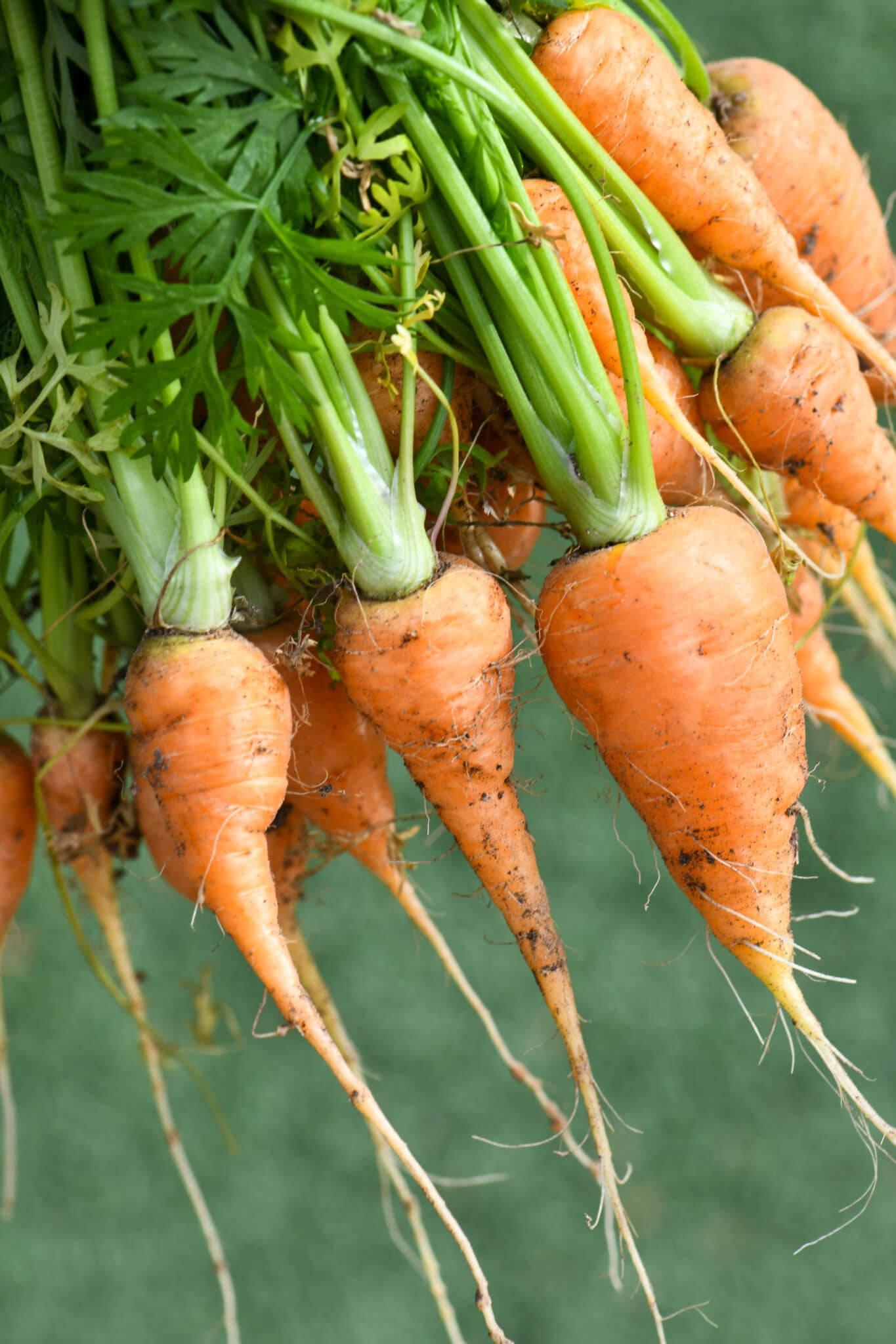 A closeup of a bundle of short carrots, perfect for growing in containers.