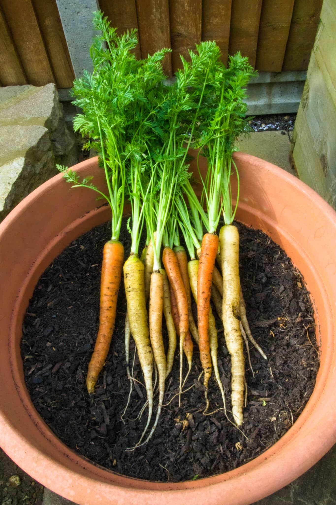 Freshly harvested carrots from a large terracotta pot.