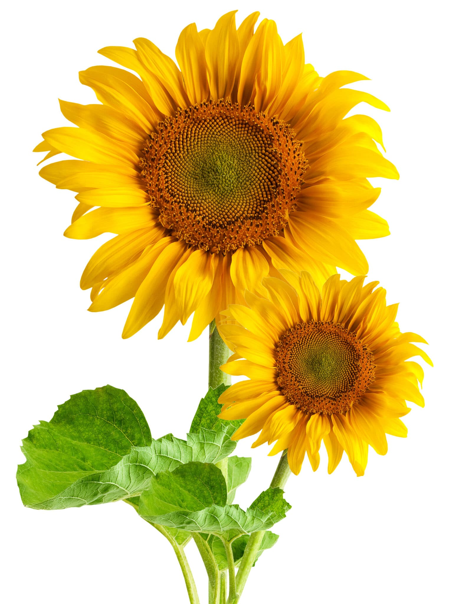 Vibrant yellow showy sunflowers against a bright white backrgound.