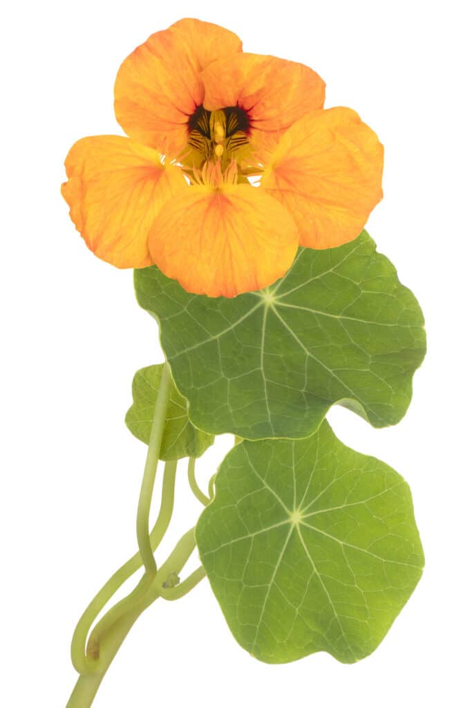 Pretty yellow nastritum flower with bright green leaves against a bright white background.