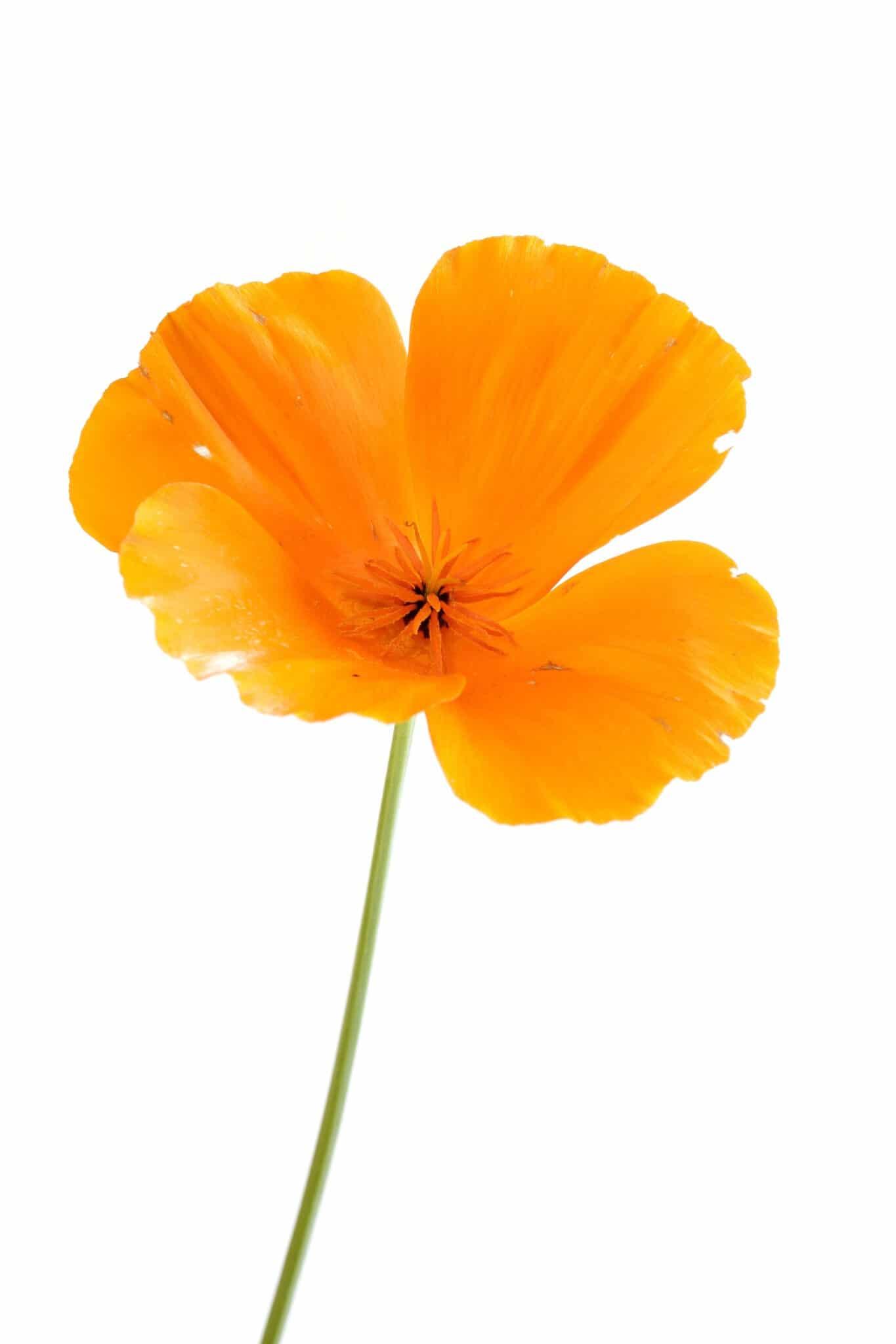Bright yellow-orange california poppy against a bright white background.