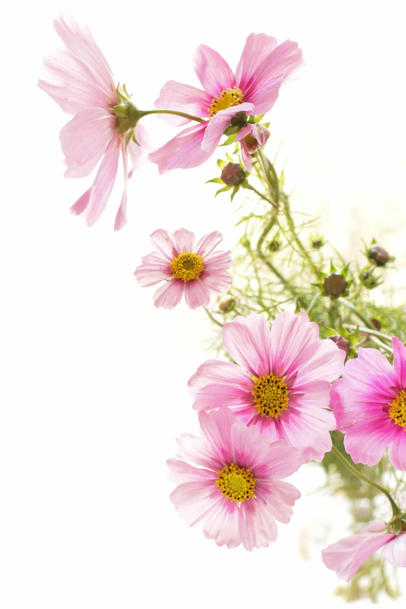 Lacy delicate pink petaled cosmos flowers against a bright white background.