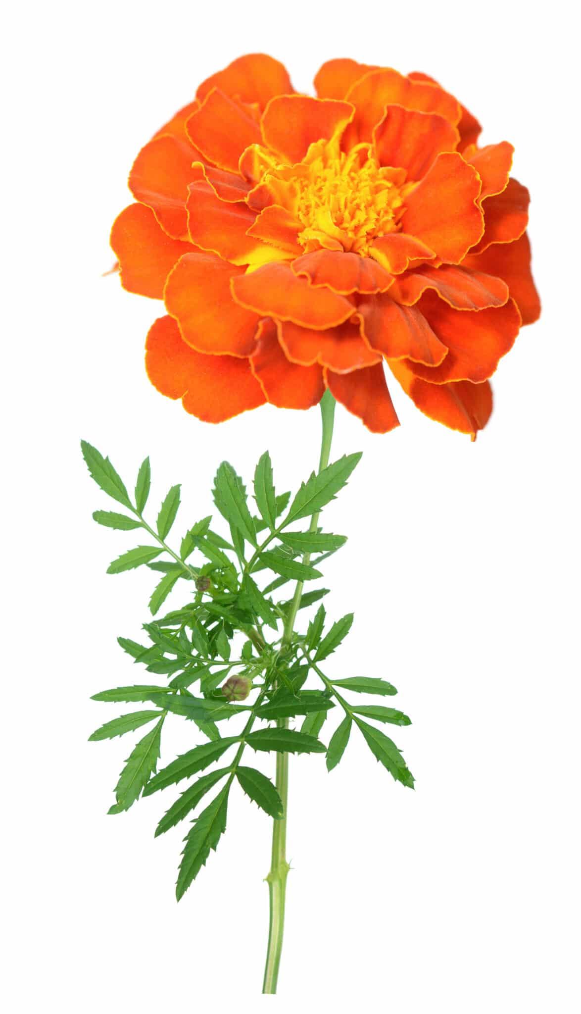 Bright orange ruffled petal marigold flower against a bright white background.