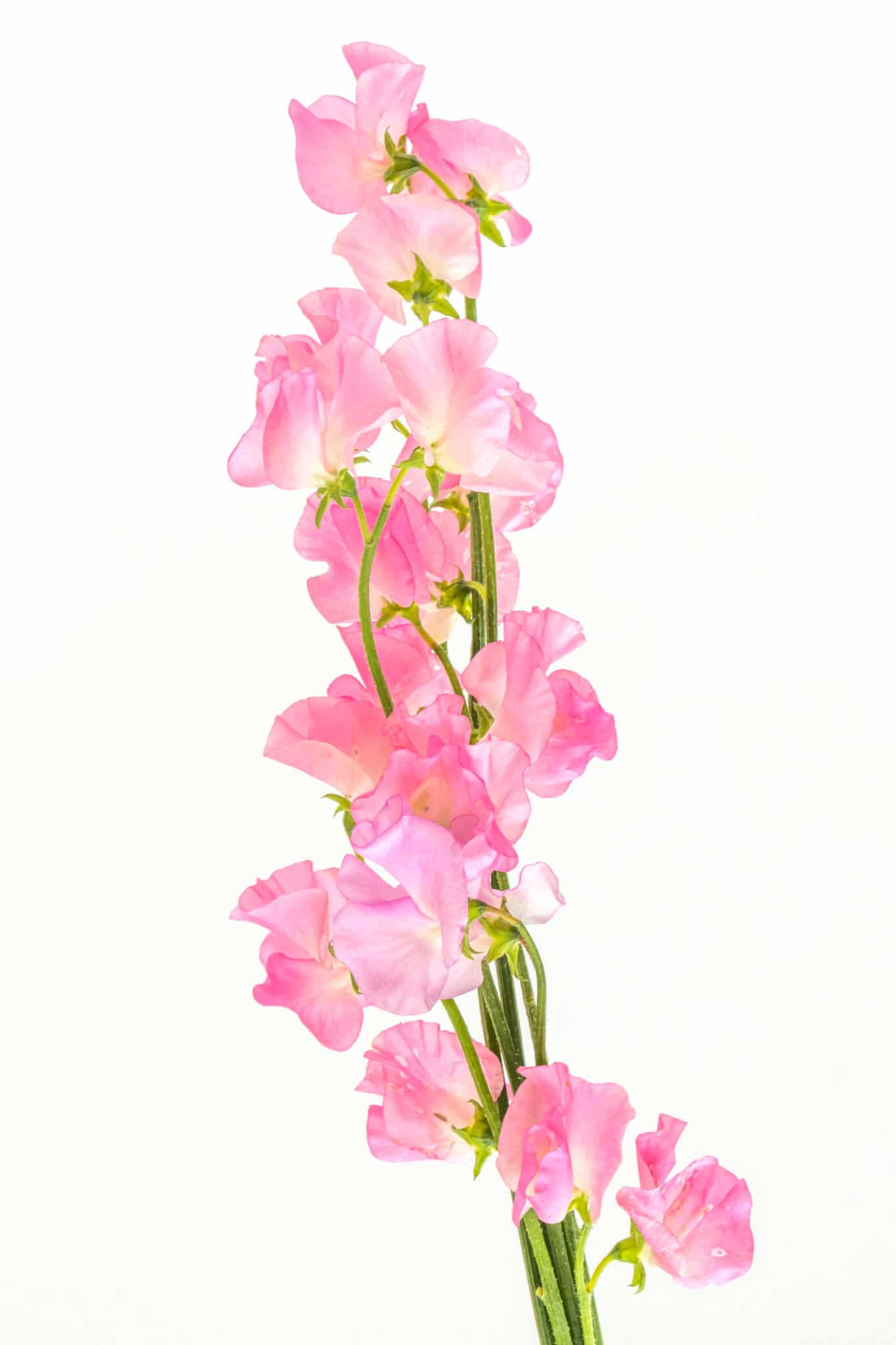 Soft pink petaled sweet pea flowers against a bright white background.