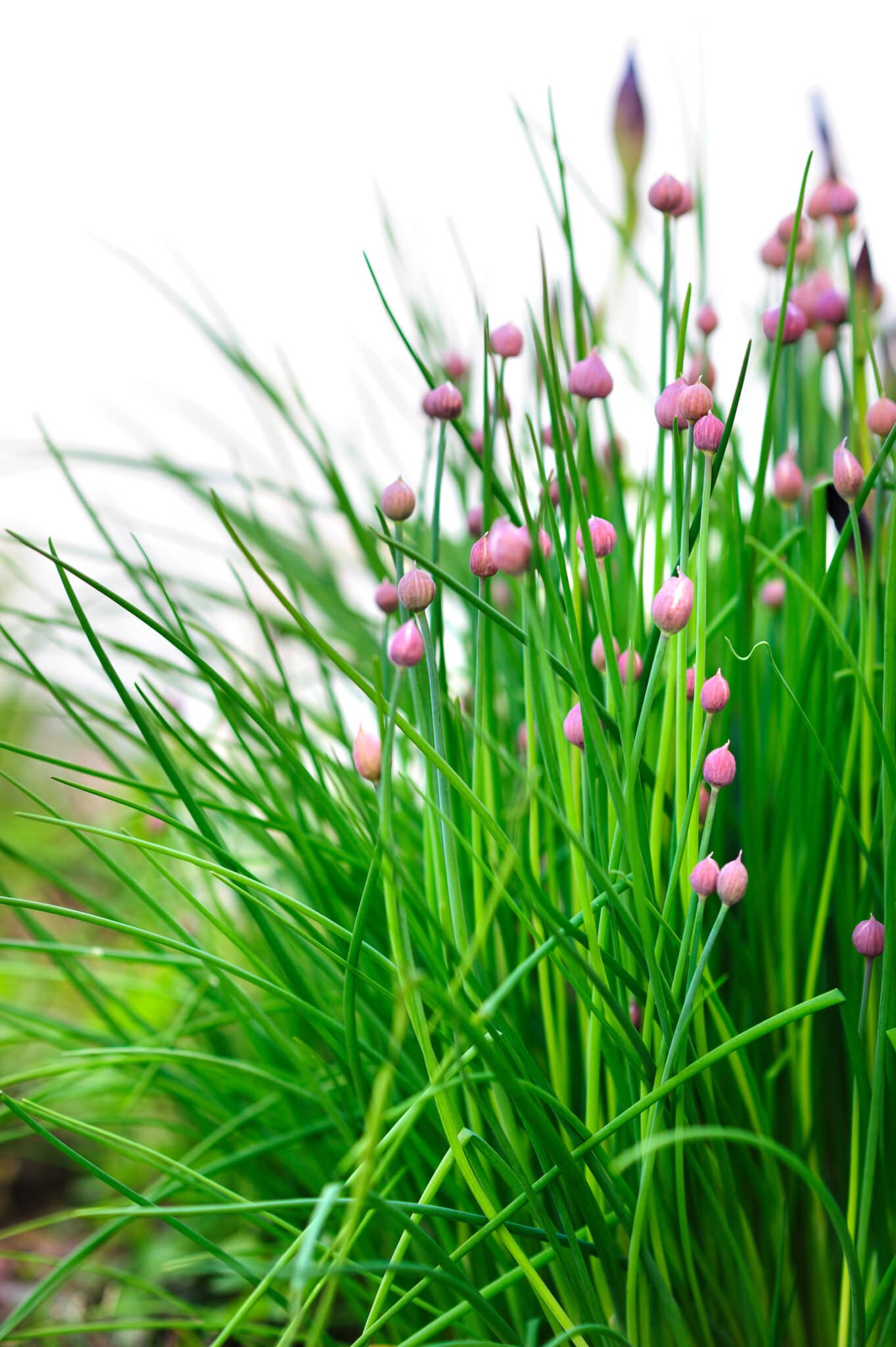 Chives growing in the garden ready to bloom.