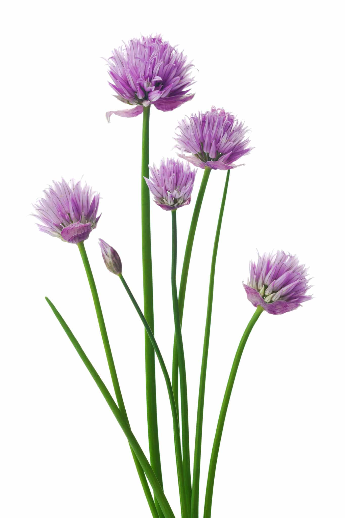 A bloomed chive plant with round purple flowers against a bright white background.