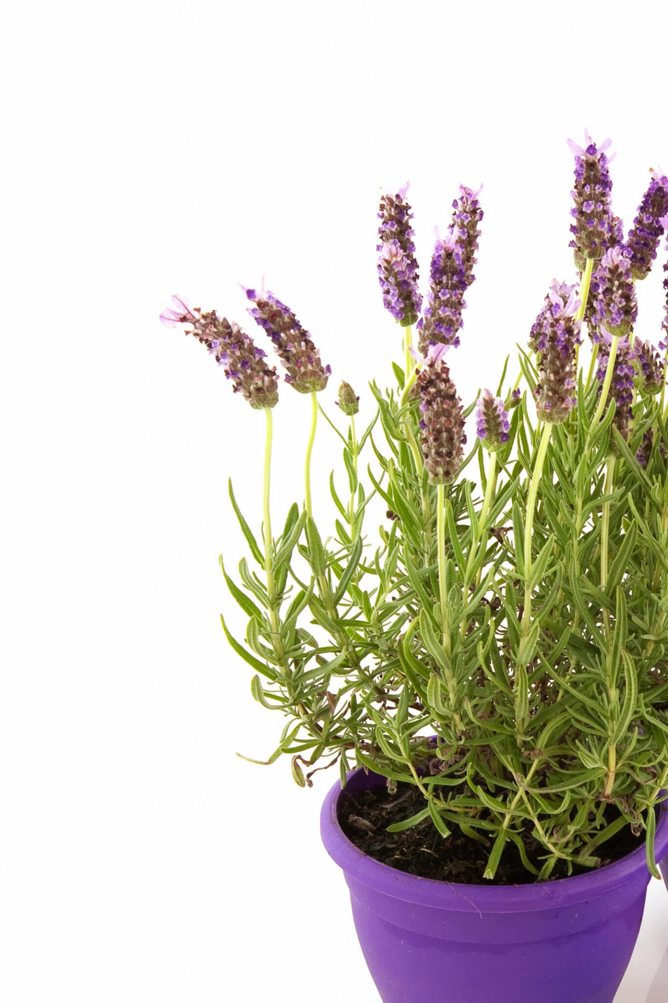 An image of growing lavender in pots against a bright white background.