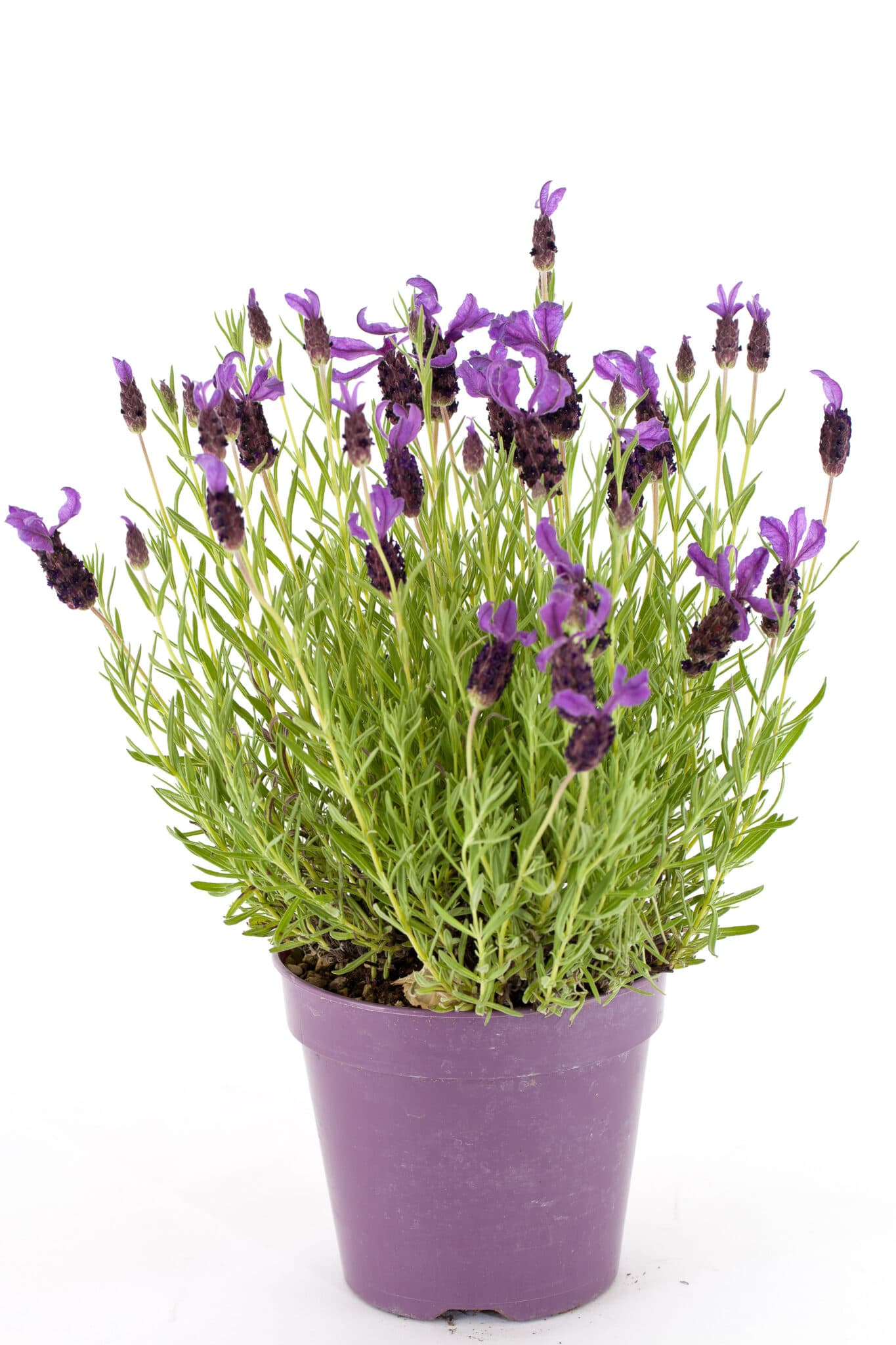 A growing lavender plant in a purple pot against a bright white background.