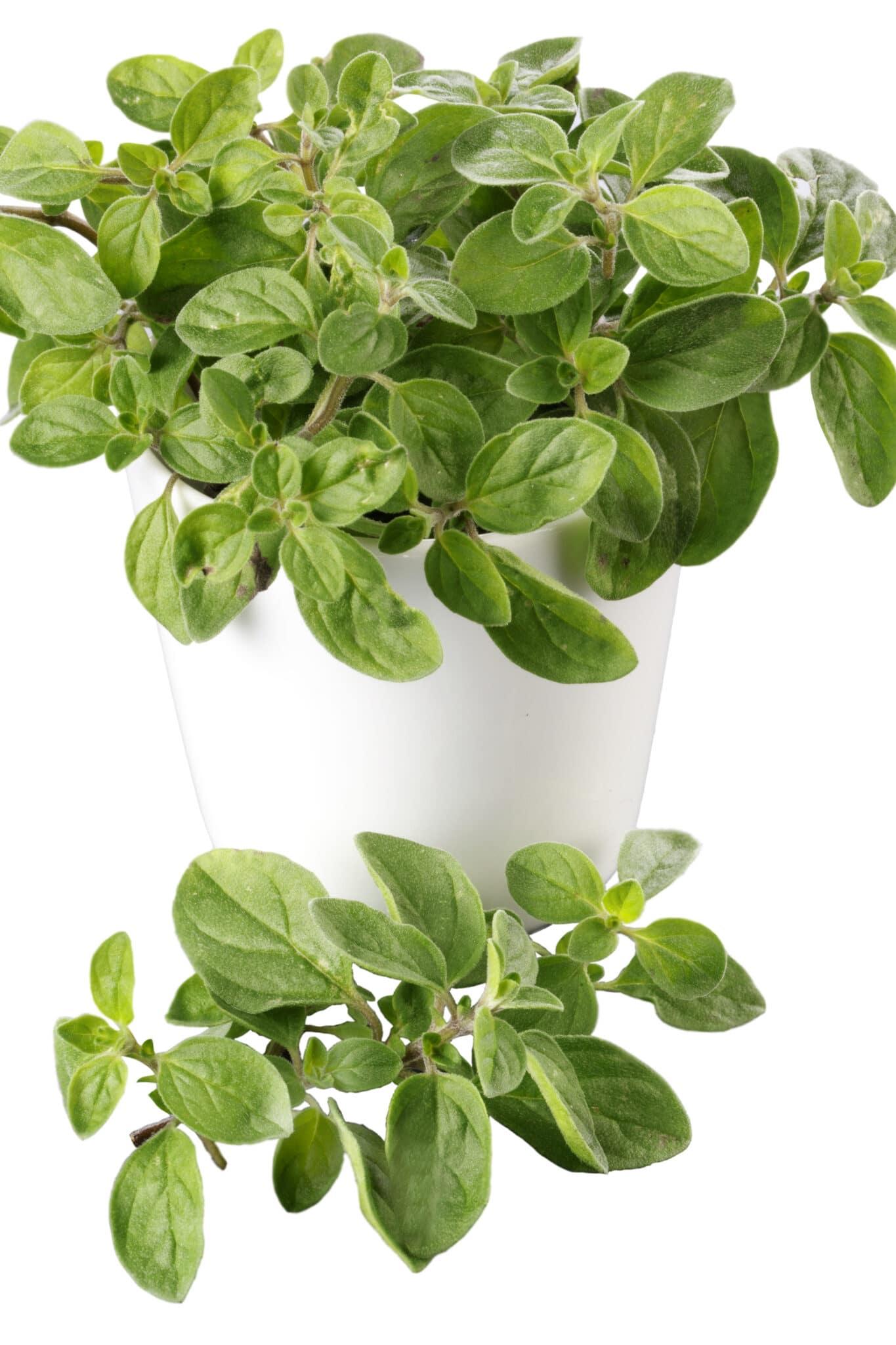 White pot filled with fresh green oregano plant.