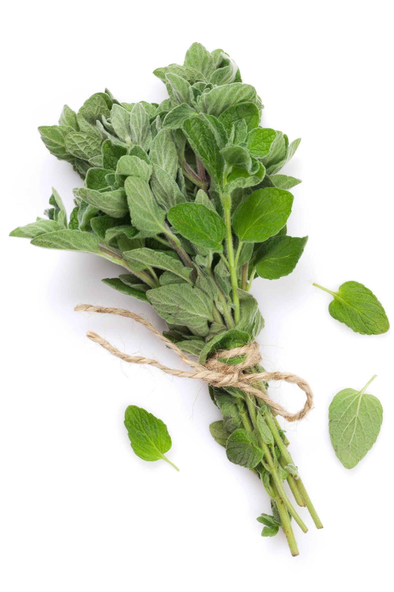 Fresh garden oregano herb. Isolated on white background.