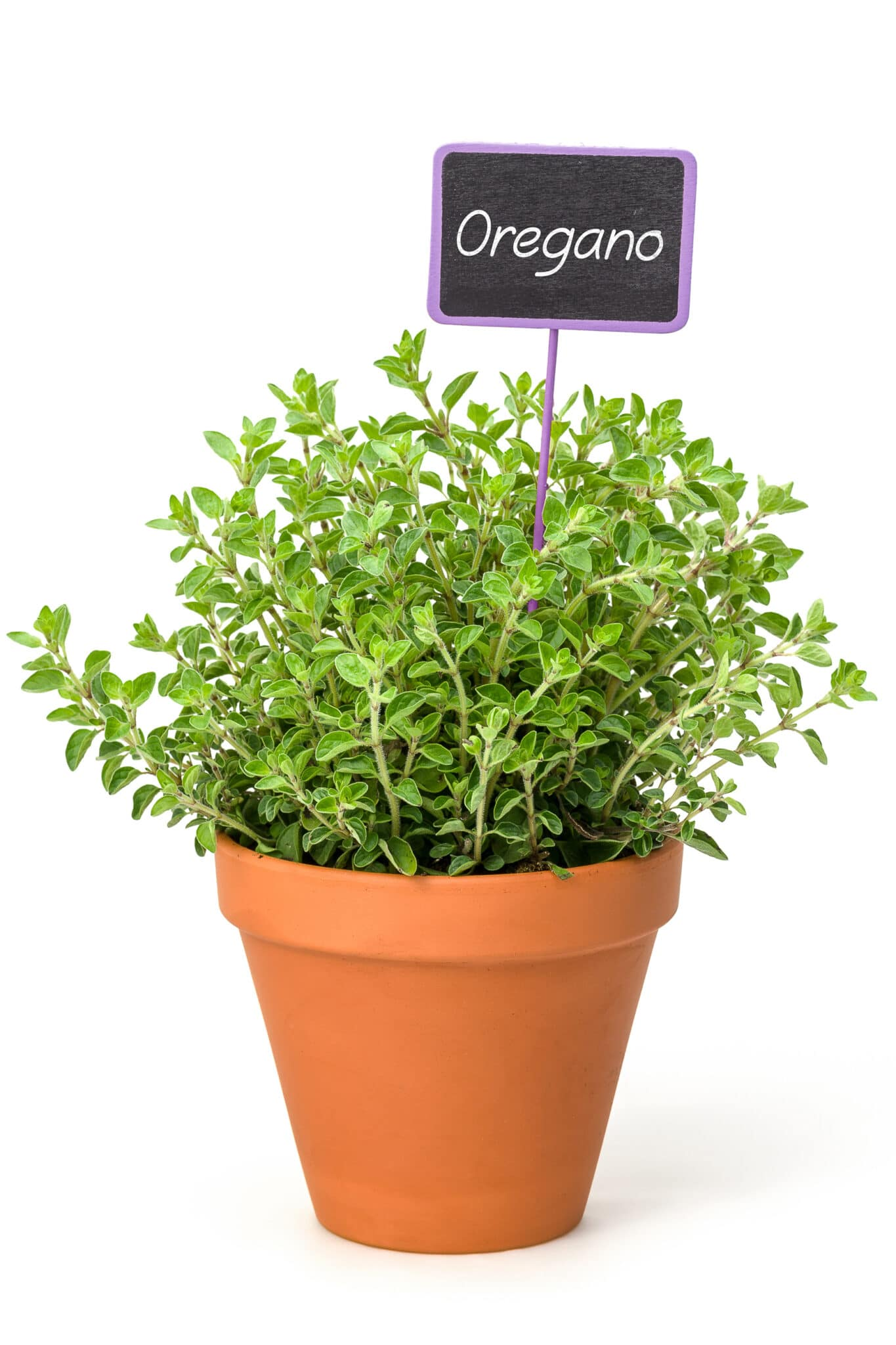 Oregano growing in a small terracotta herb planter.