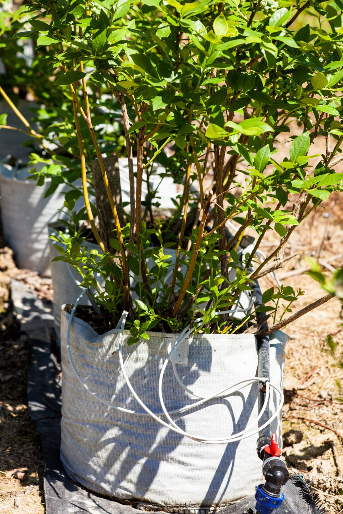 growing blueberries in containers with drip hoses