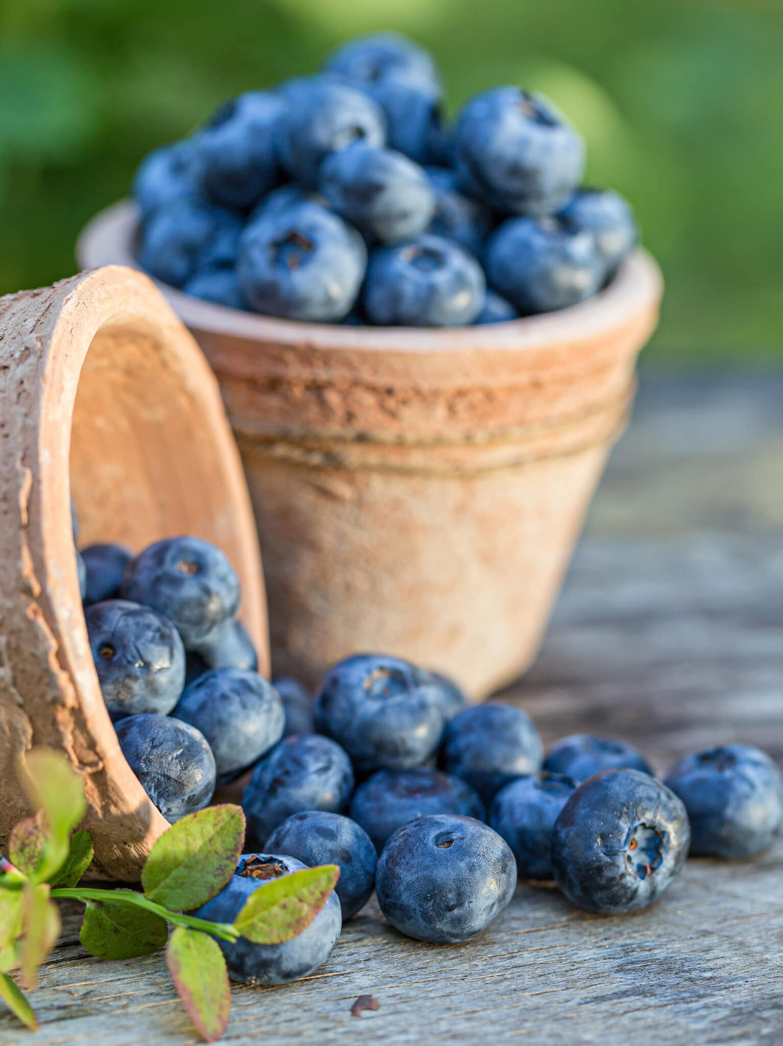 Blueberries in terra cotta pots with one pot spilling over.