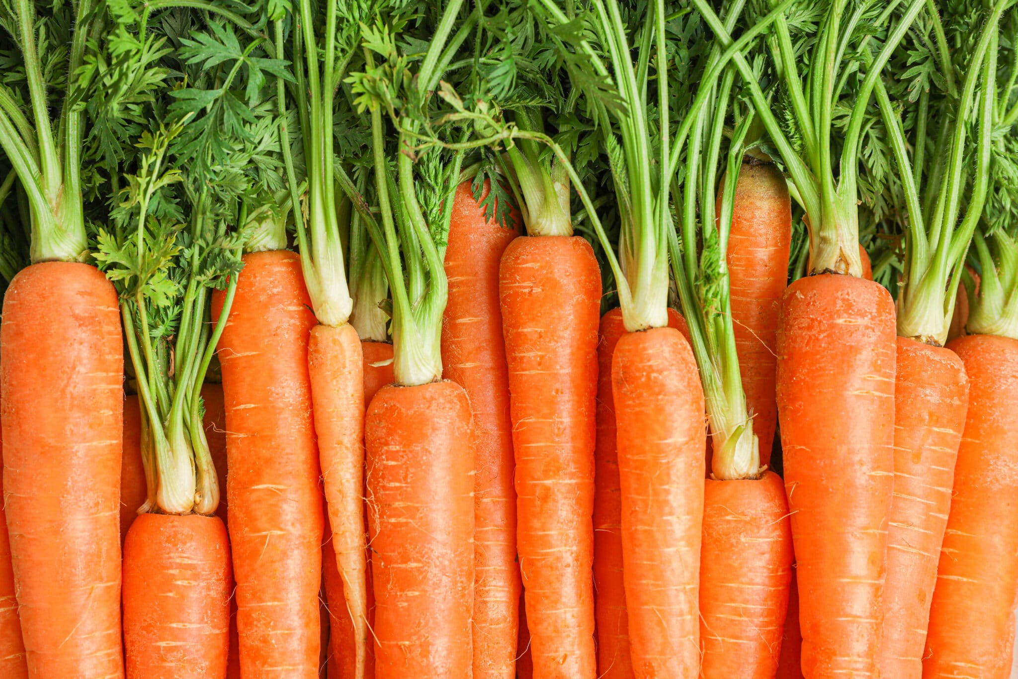 Ripe freshly harvested carrots with bright green tops laid together in a piled row.