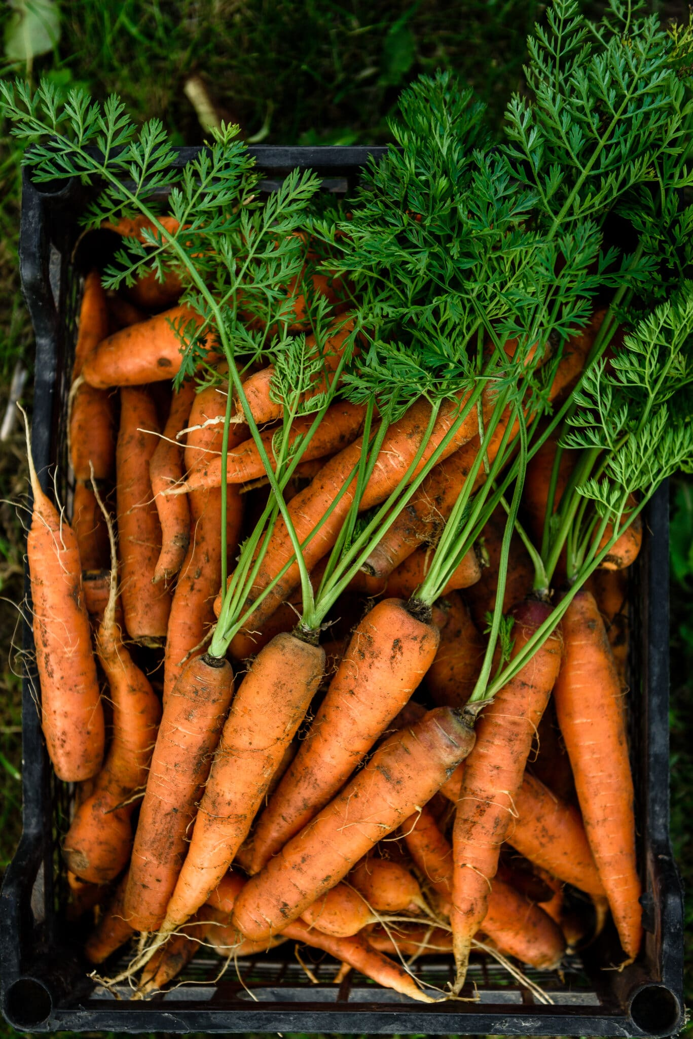 Freshly harvested carrots sitting in a black crate ready to be washed.