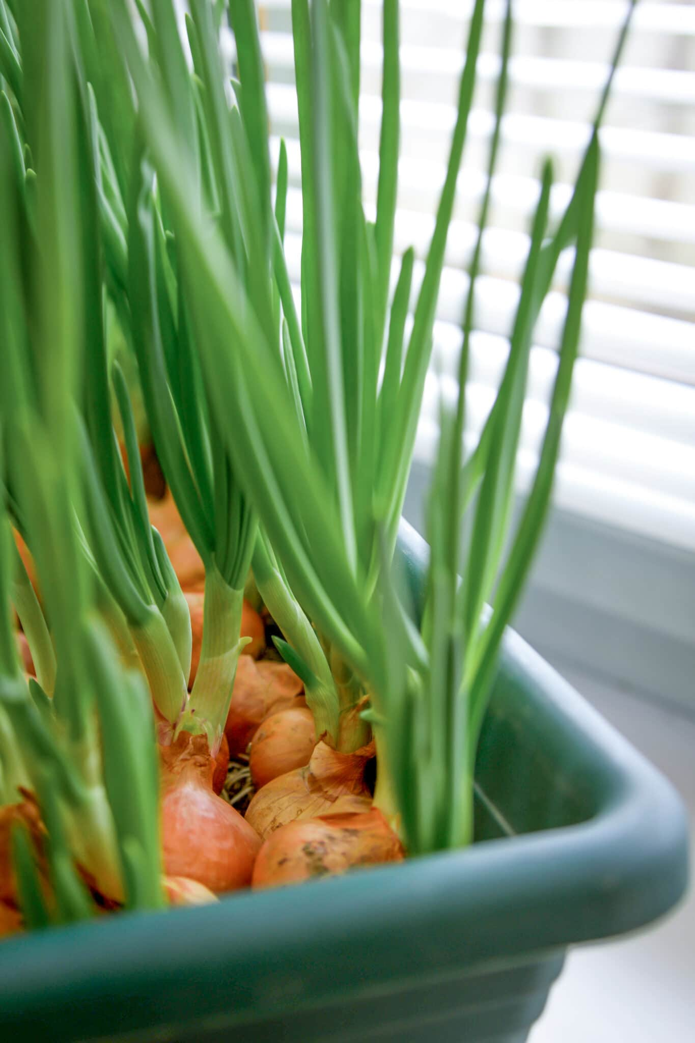 Growing onions in a plastic tub in front of a sunny window.