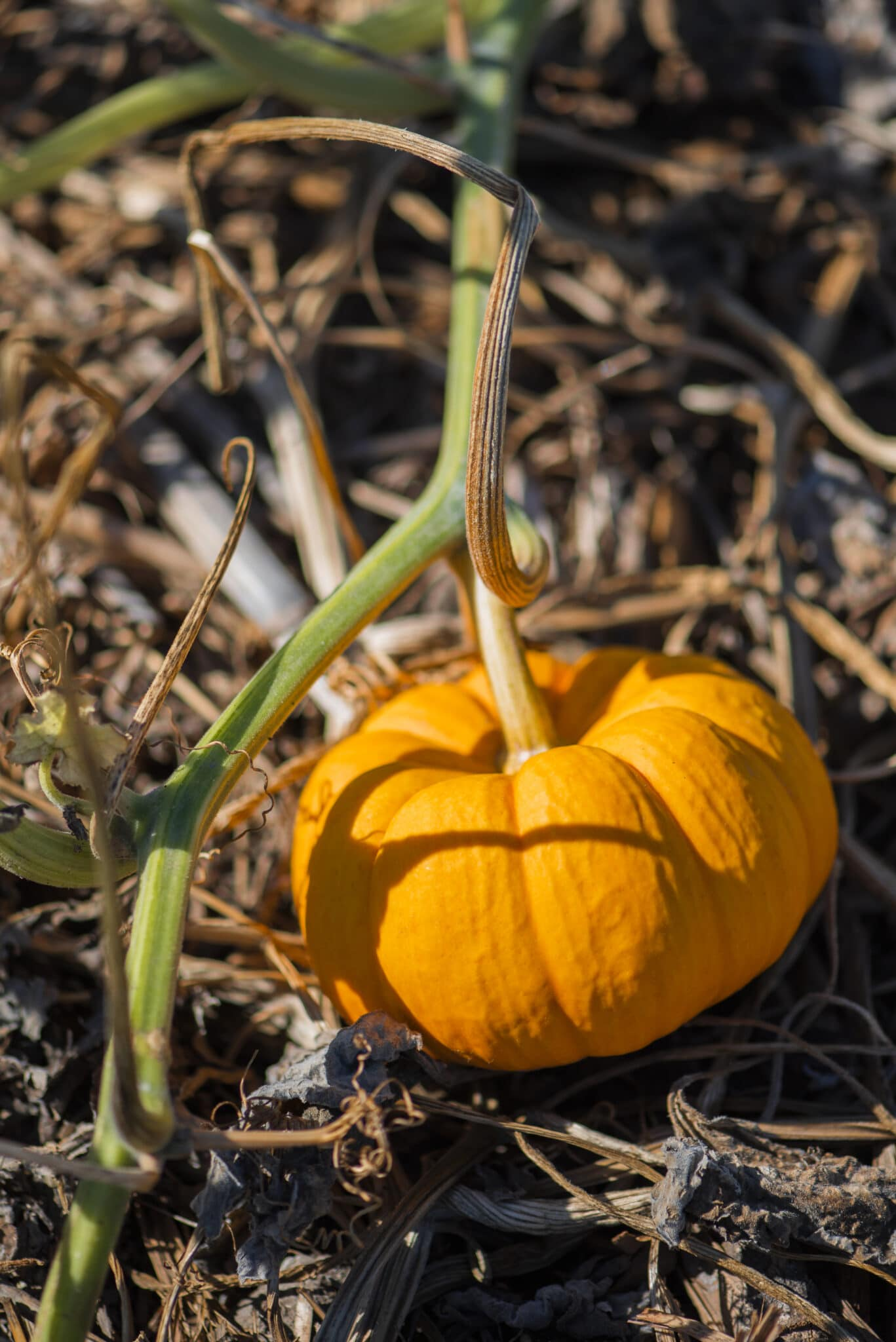 A small container grown pumpkin ripening on a vine.