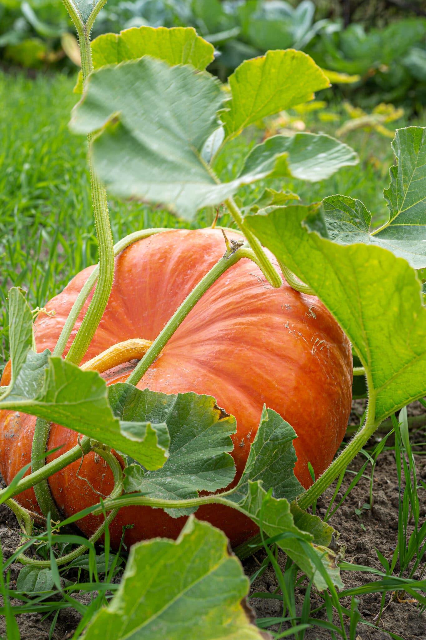 A medium sized pumpkin ripening on the ground.