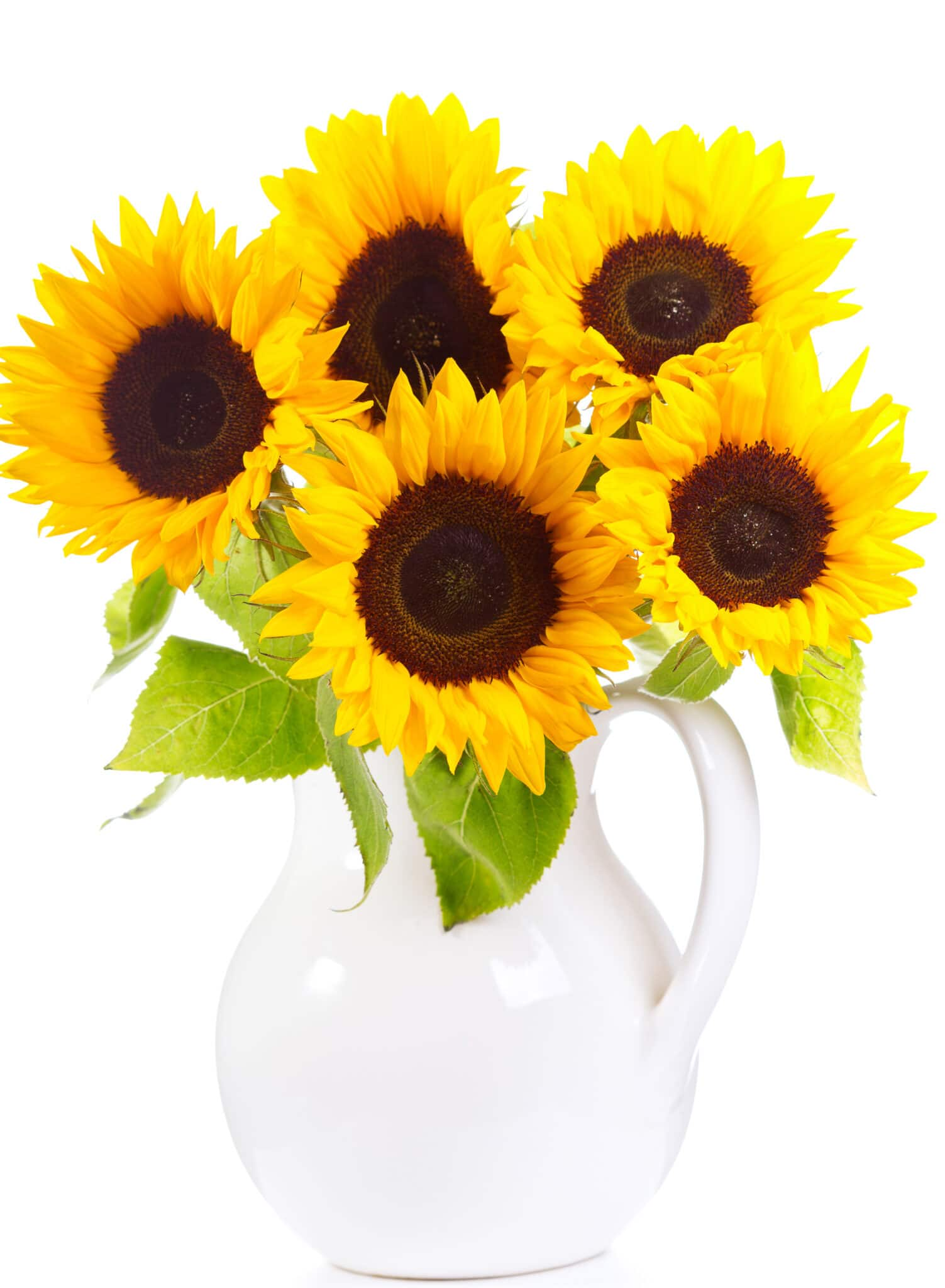 A bundle of cut sunflowers on display in a white jug.