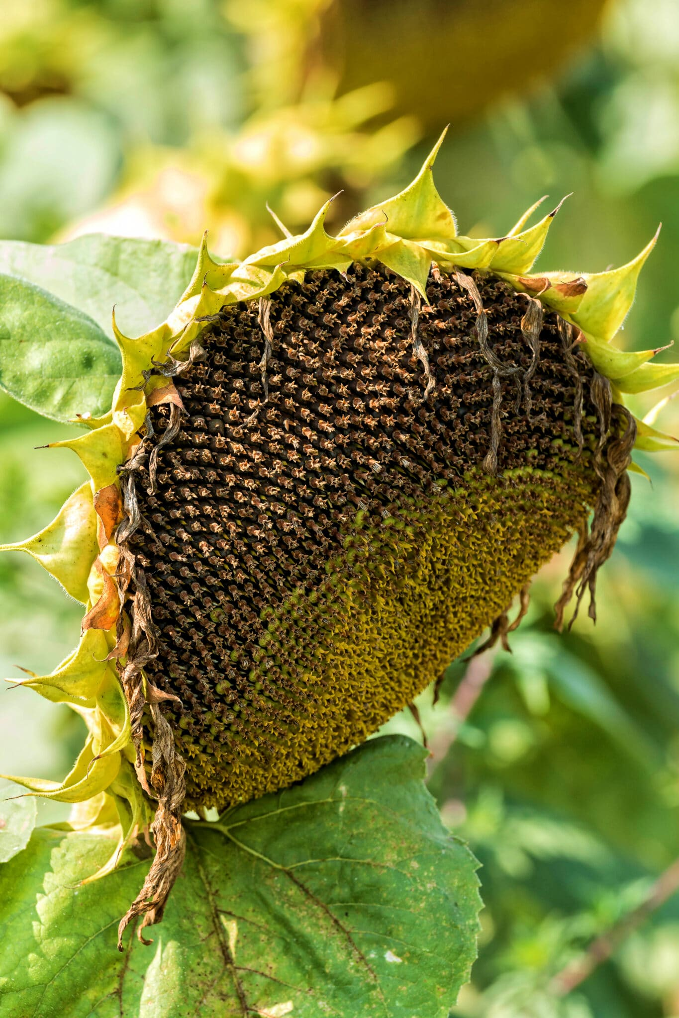 A sunflower head read for harvest.  The leaves have died back and the head is droopy and filled with sunflower seeds.