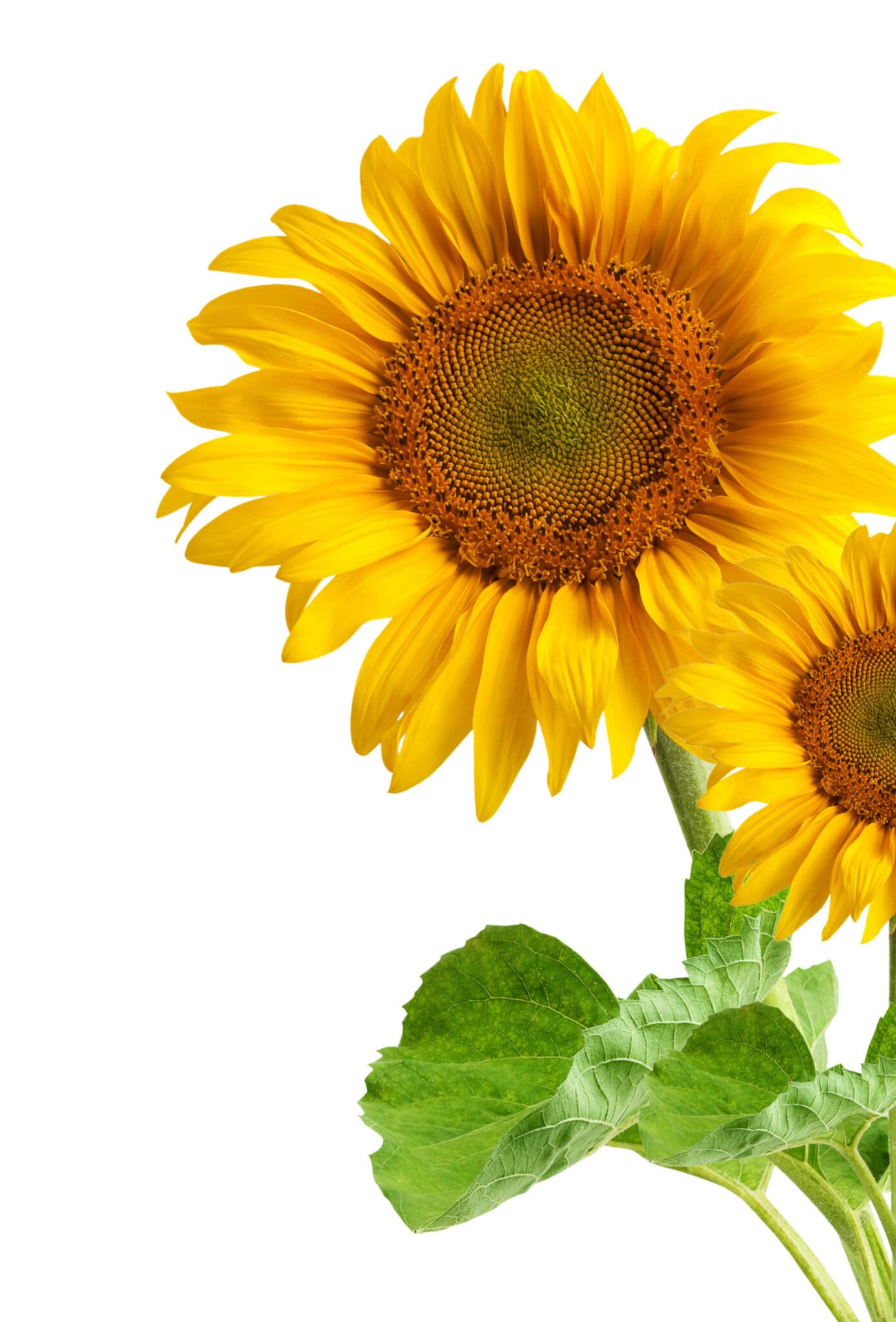 A bright yellow sunflower growing against a white background.