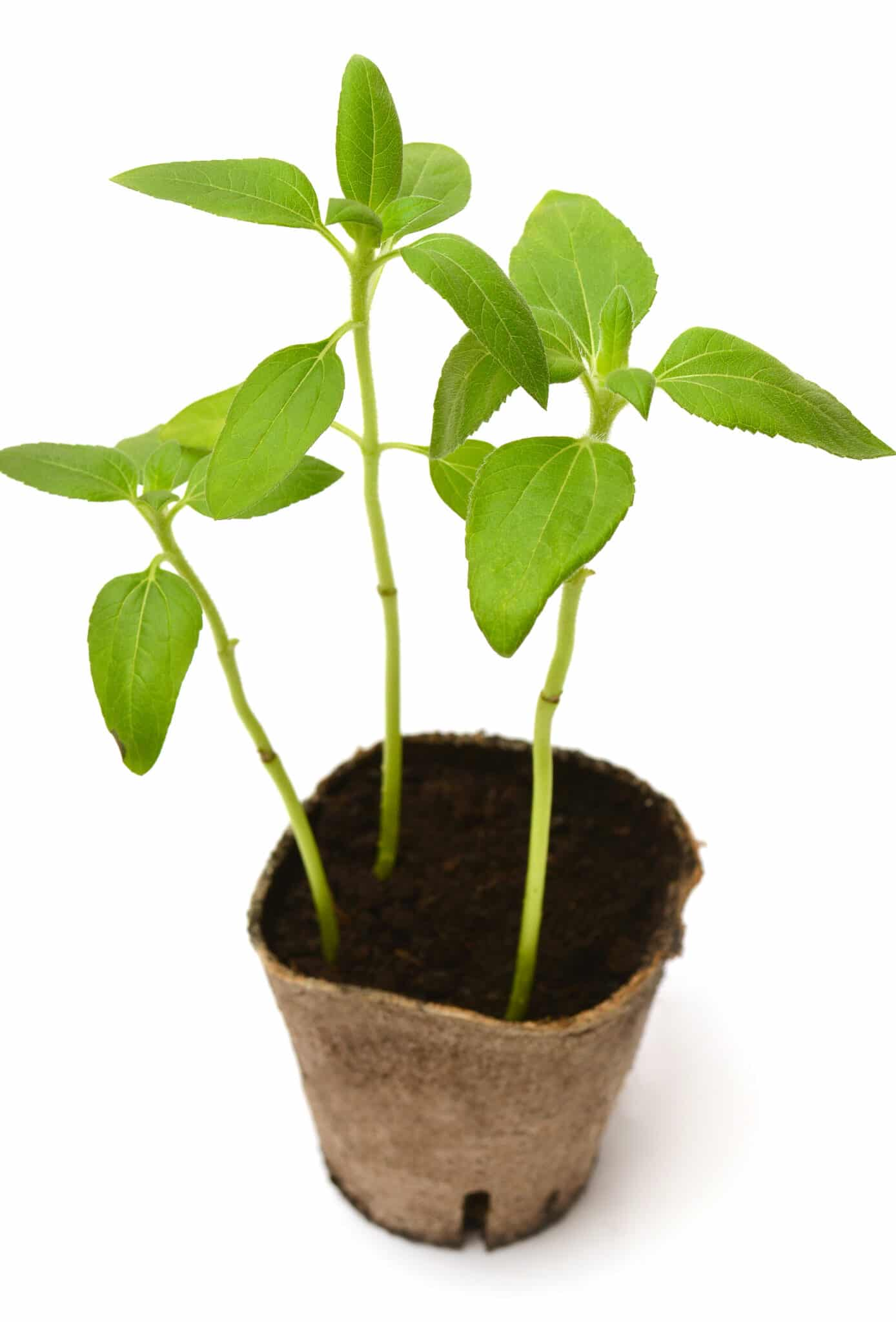 Three seedling sunflowers growing in a small peat pot.