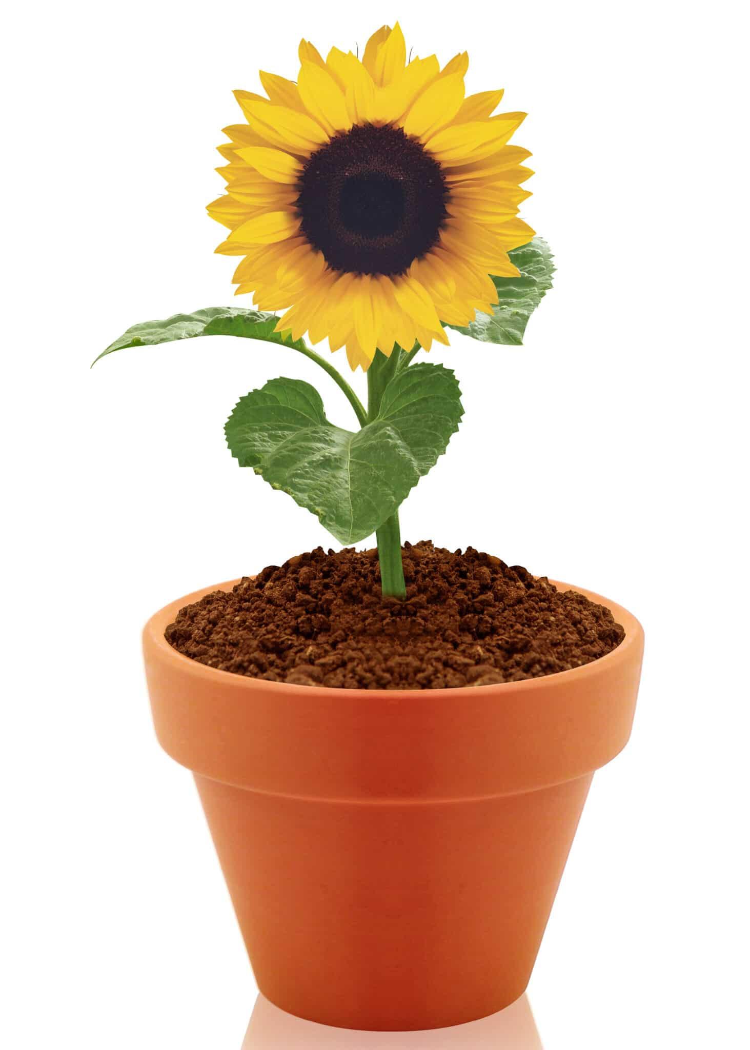 A single dwarf sunflower growing in a terracotta pot.
