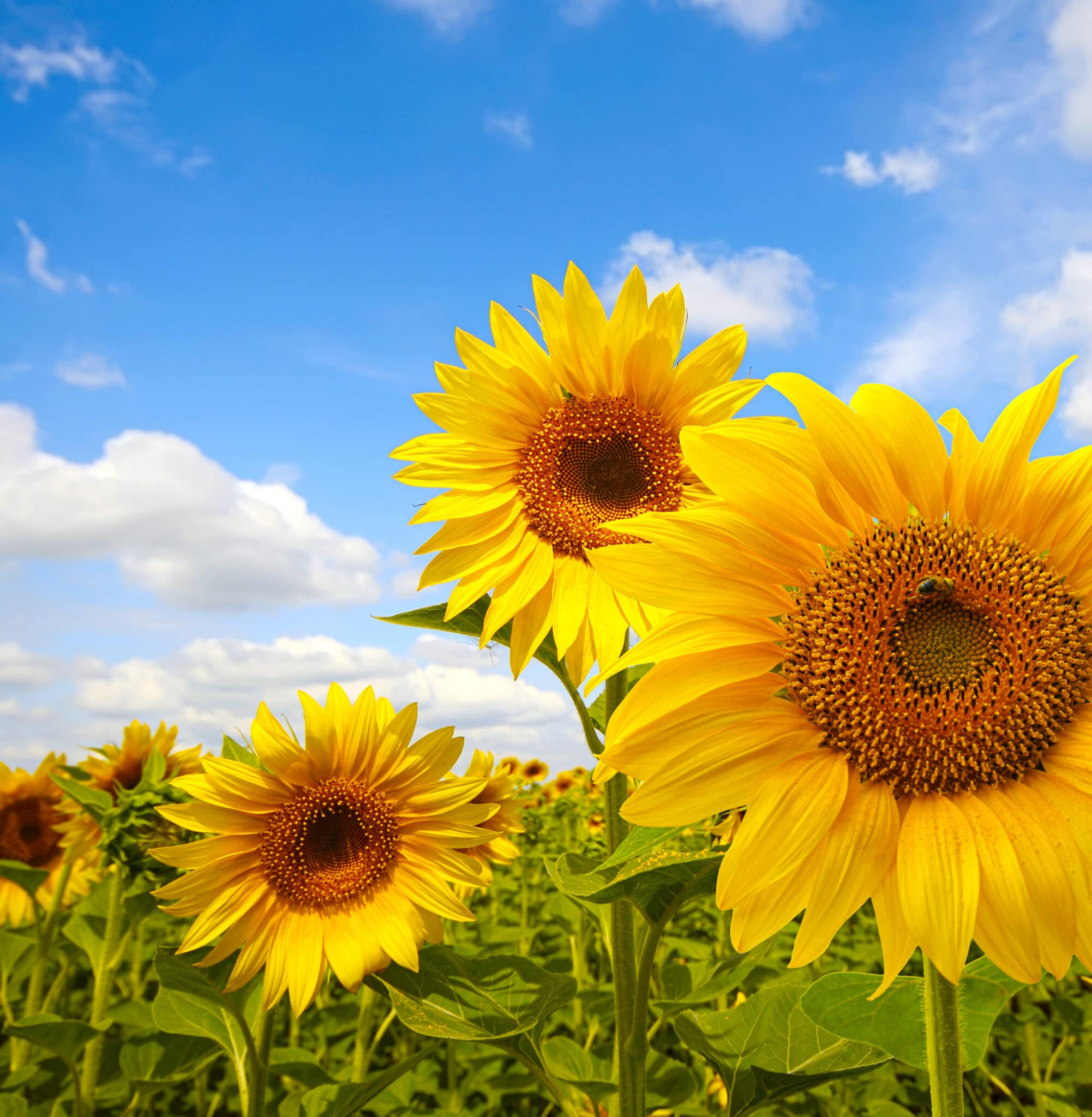 Bright yellow sunflowers against a blue sky.