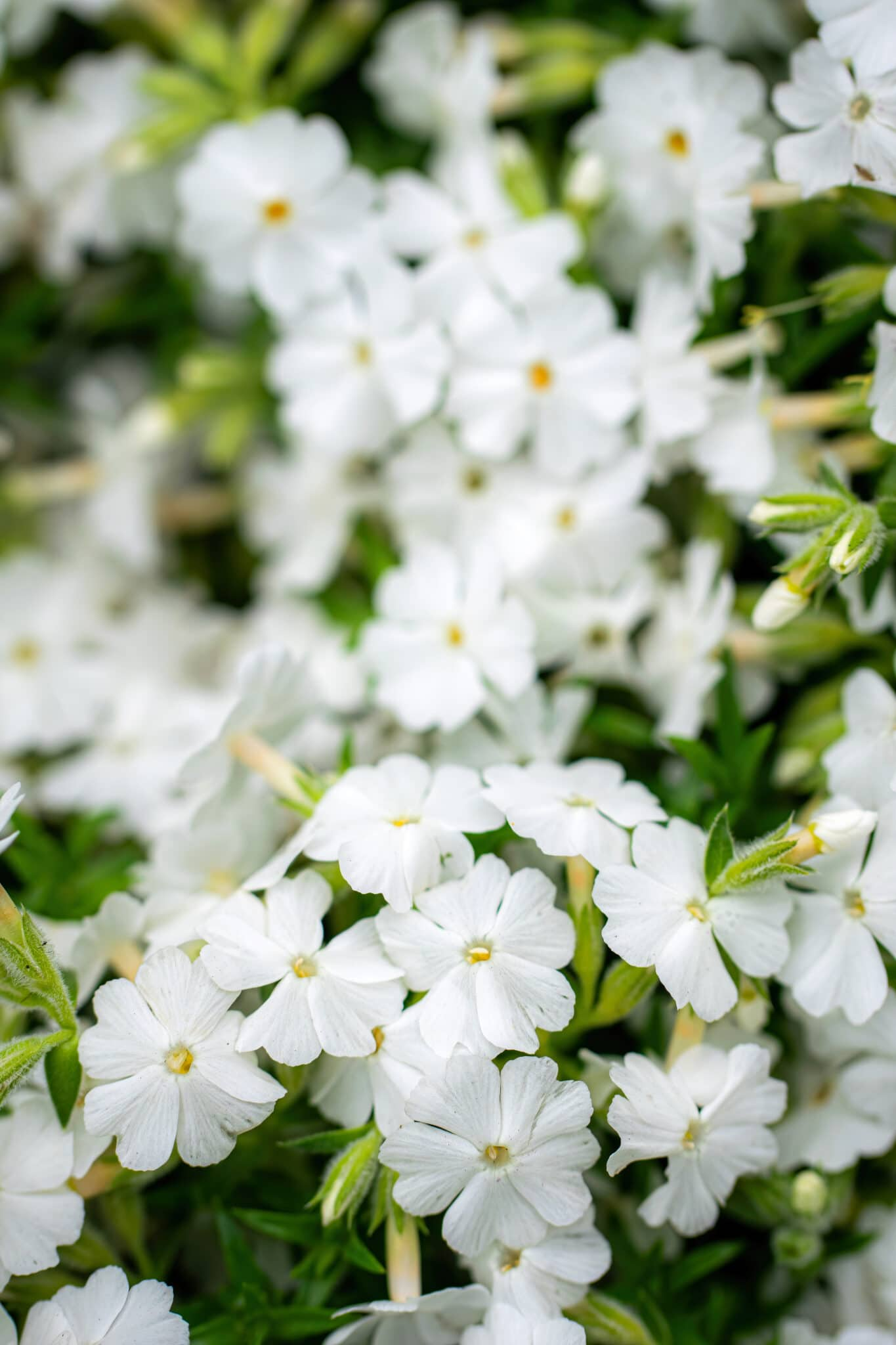 White phlox flower close up in garden on a summer day.