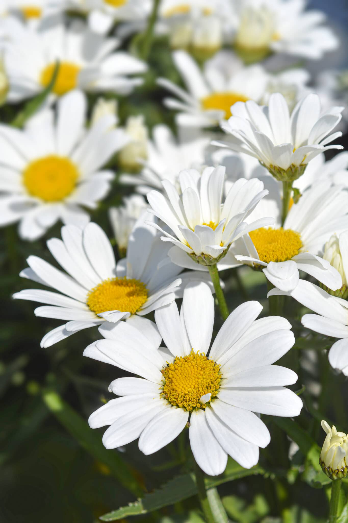 Shasta Daisies against dark green foliage. The image shows the bright white petals that make them great moonlight plants.