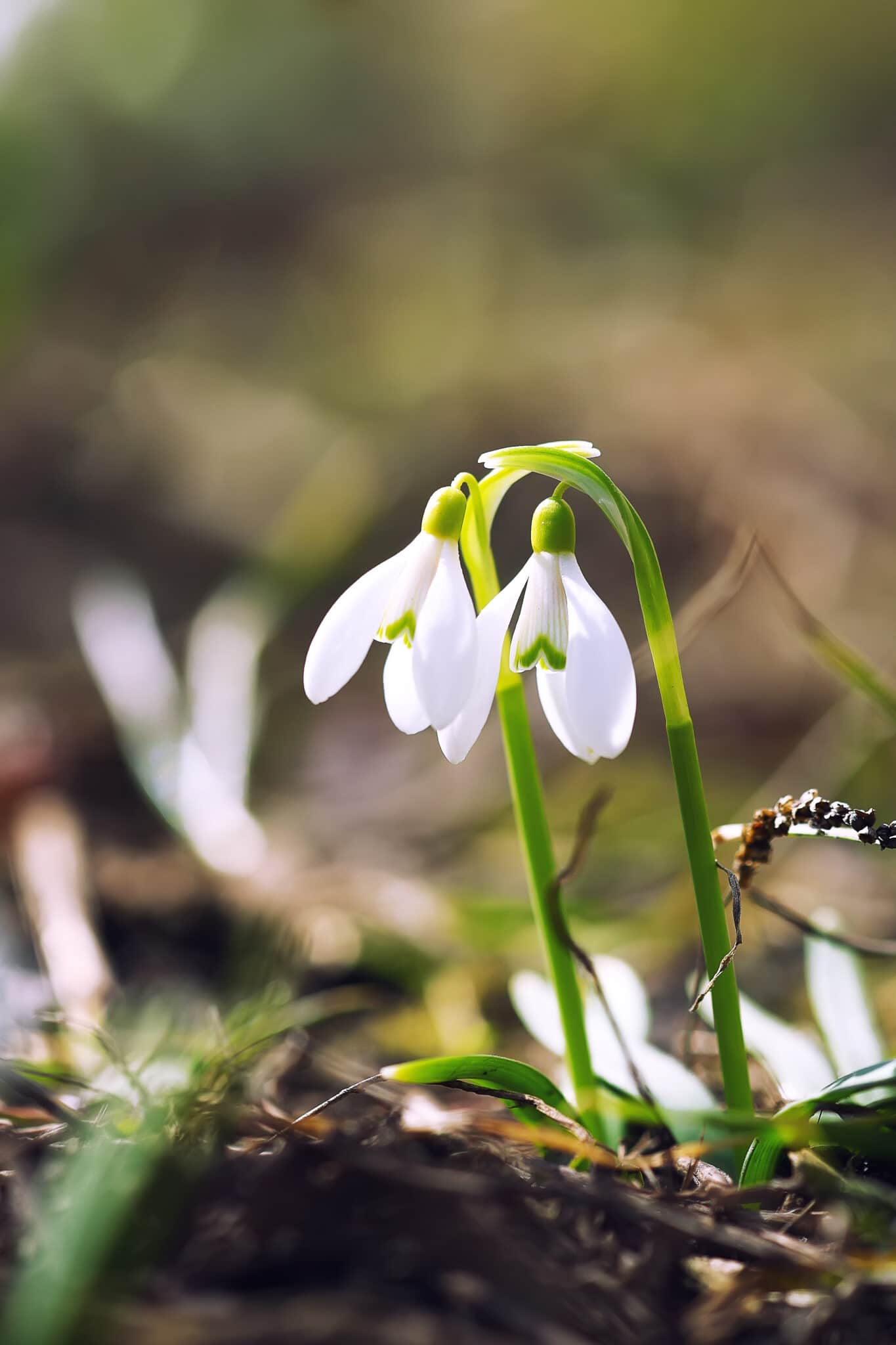 Spring snowdrop flowers blooming in the sun.