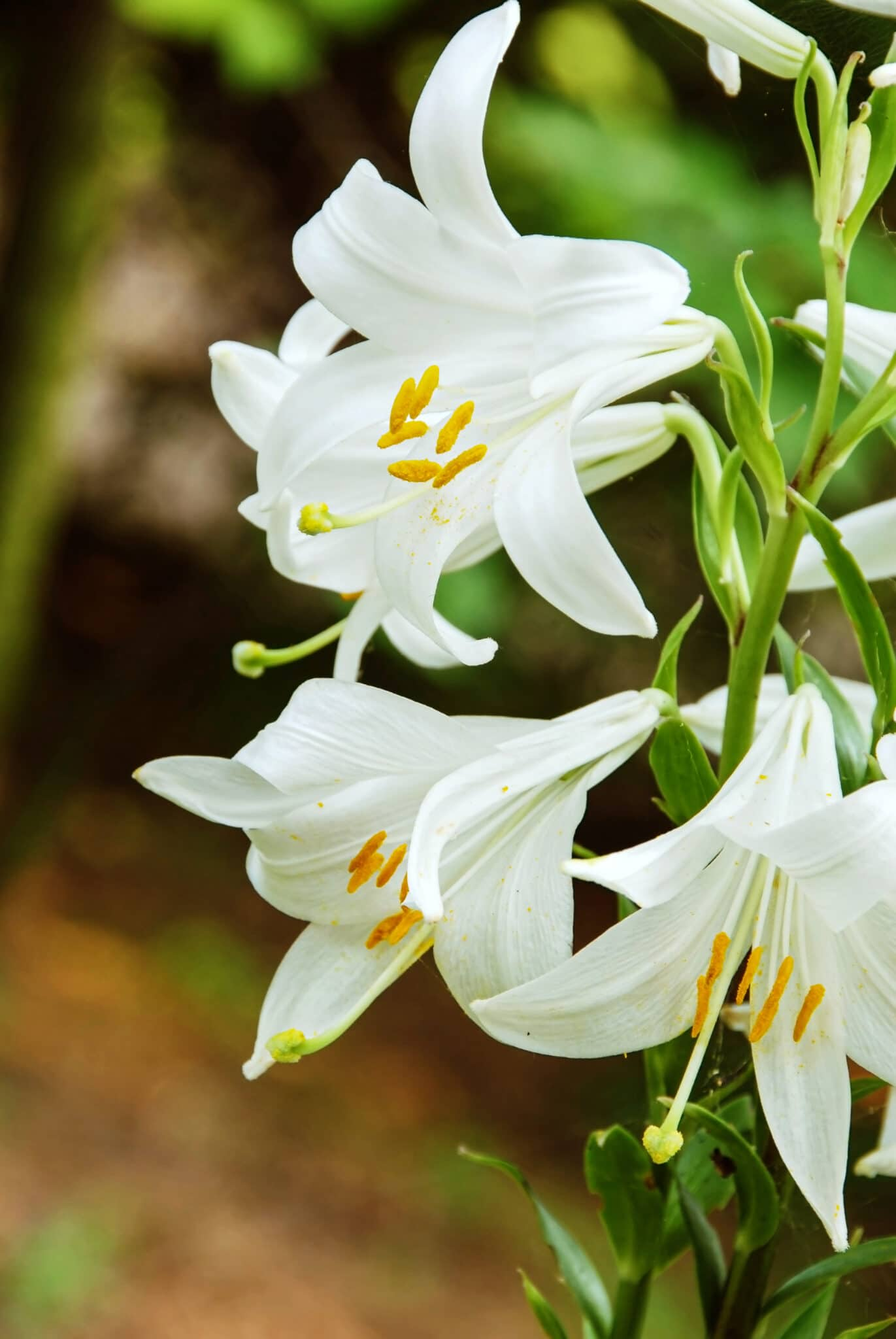 Brilliantly white madonna lily in full bloom.
