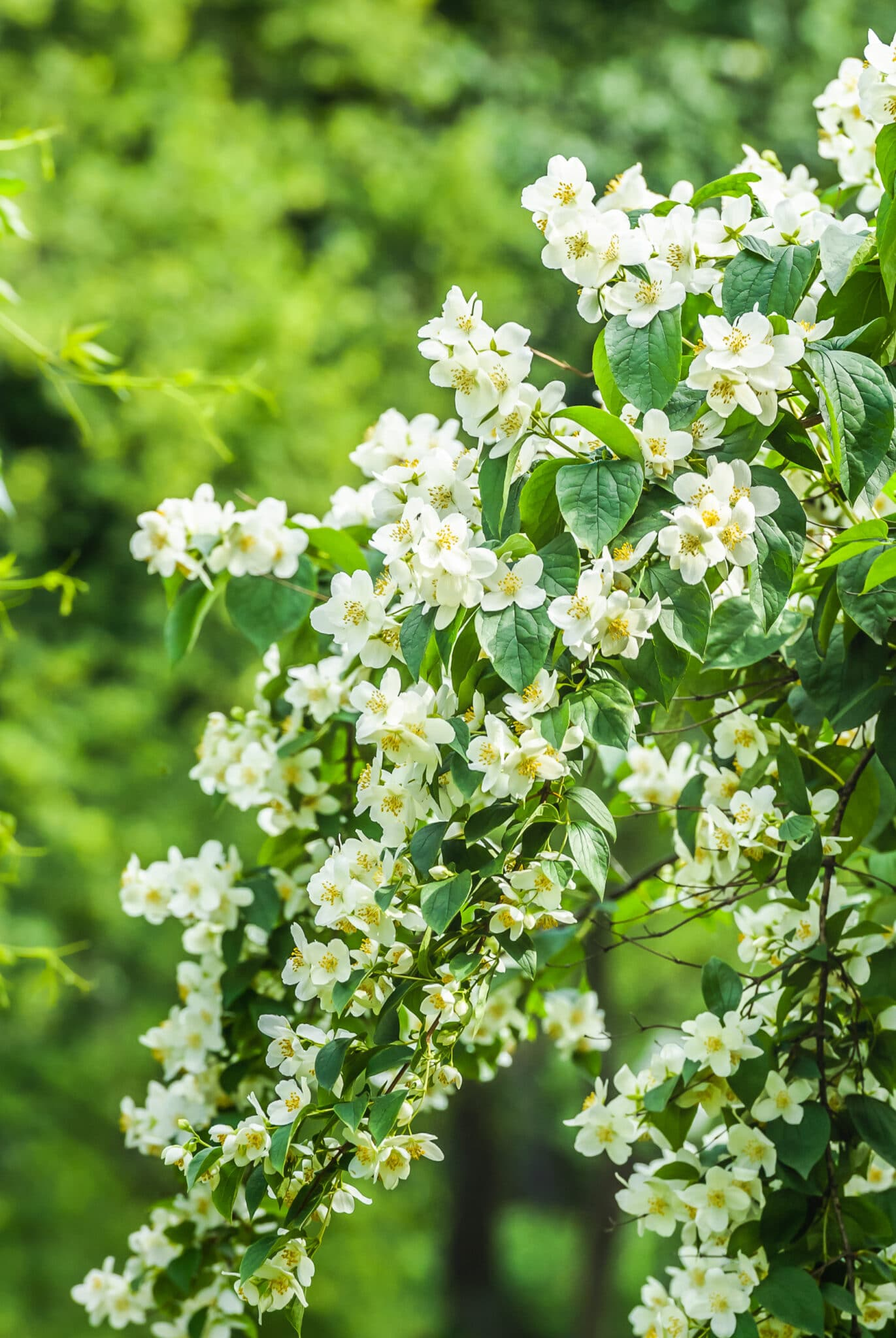 A mock orange plant filled with tiny white fully opened blooms.