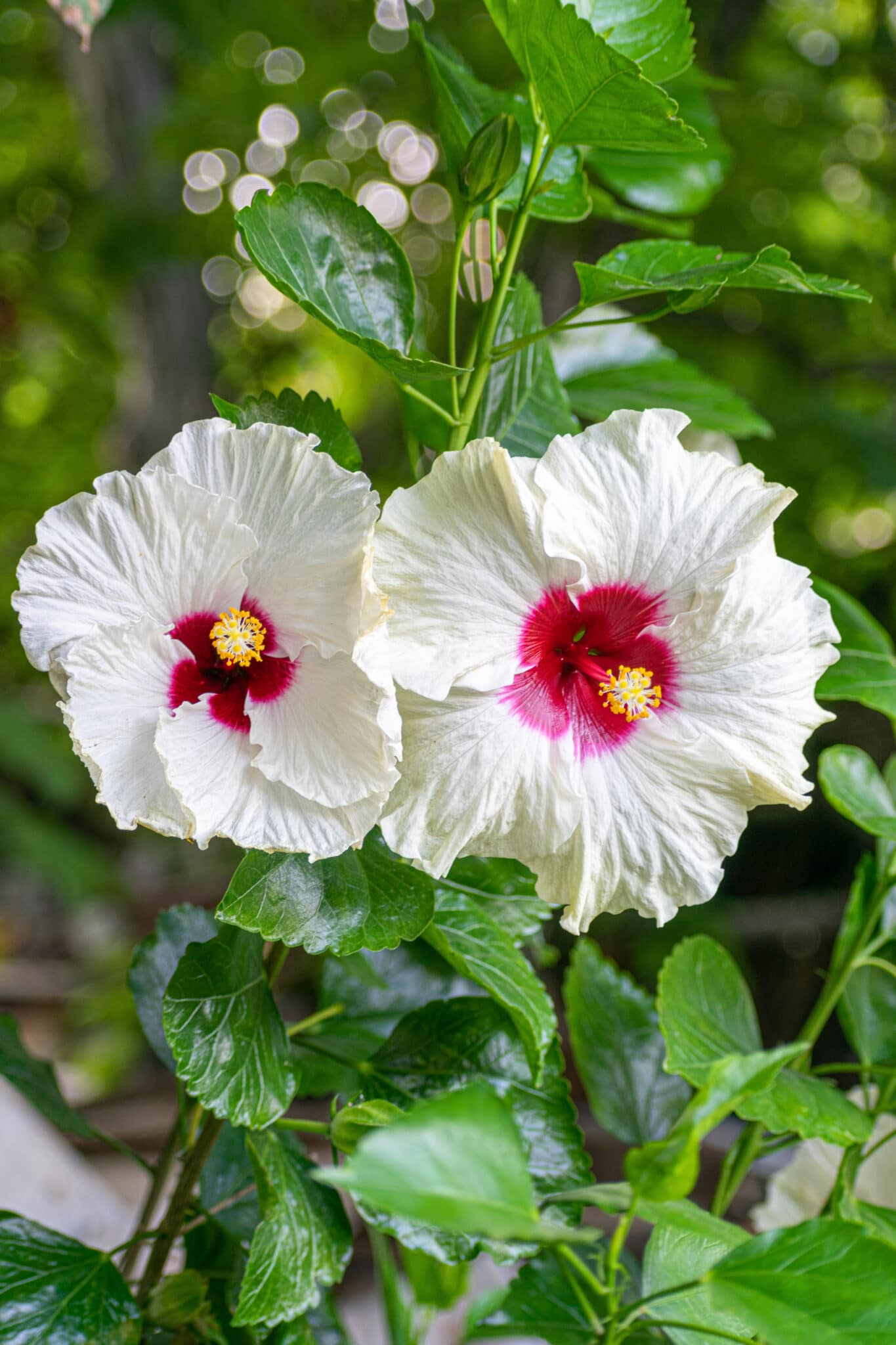 Rose of Sharon with bright white blooms and brilliant red centers against a dark moonlit garden.